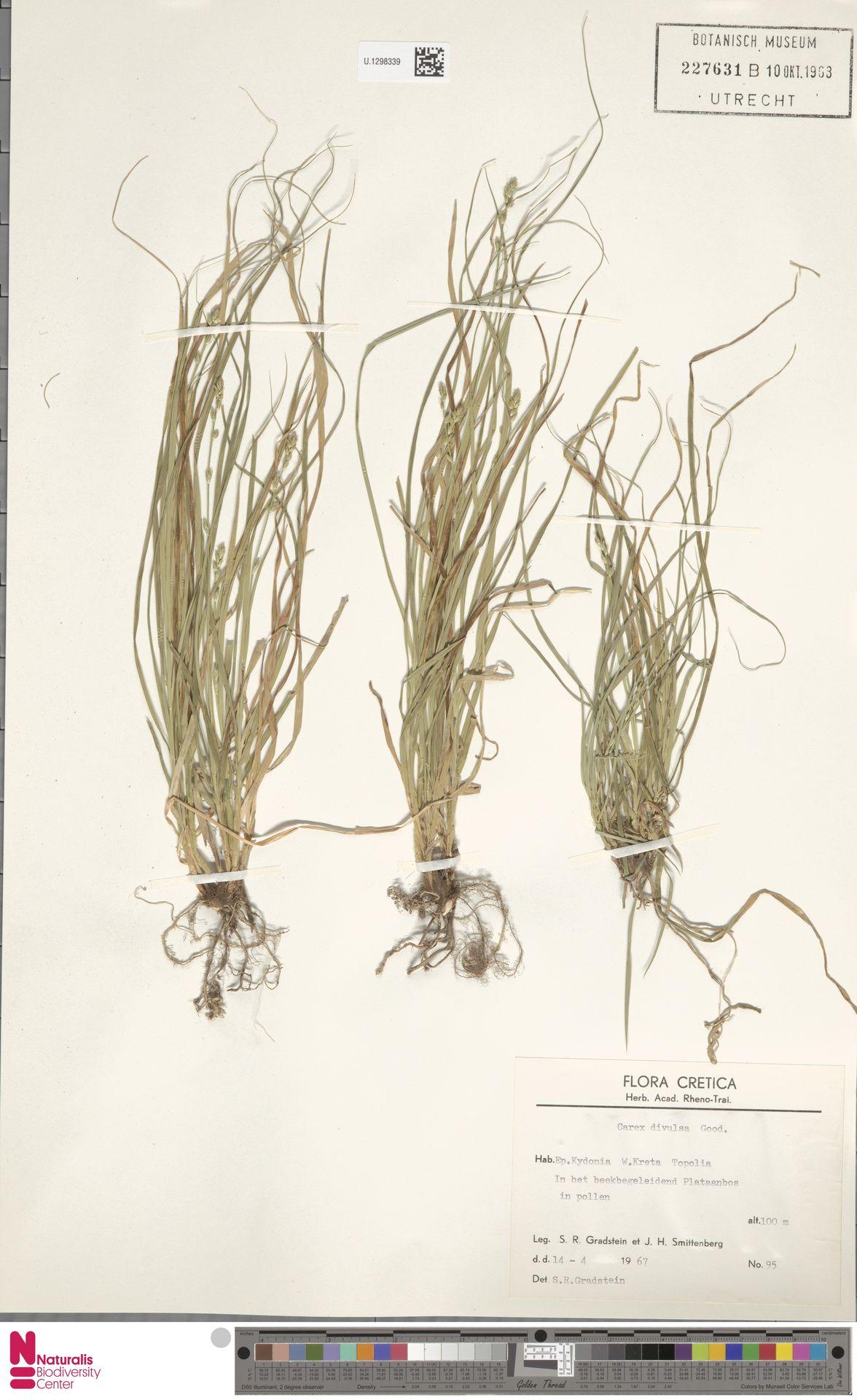 U.1298339 | Carex divulsa Stokes