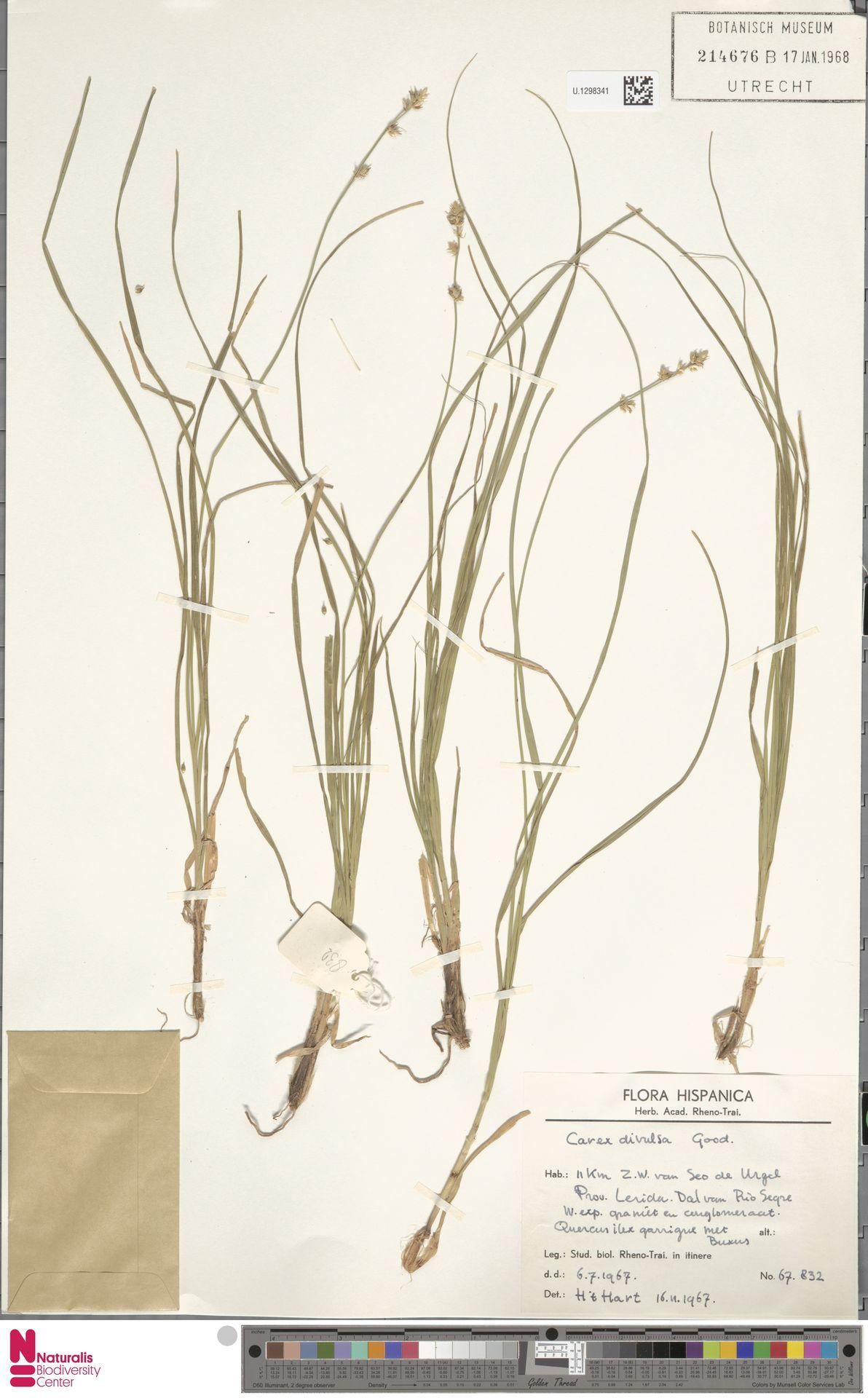 U.1298341 | Carex divulsa Stokes