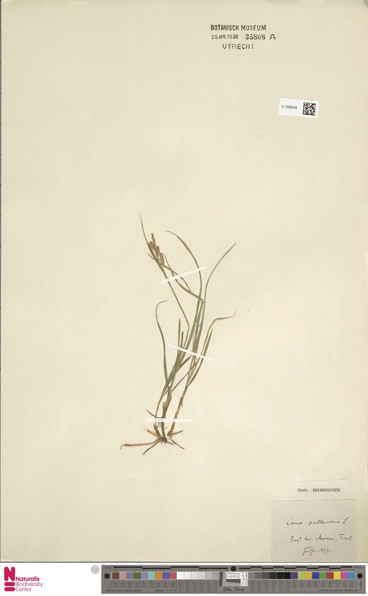 U.1298426 | Carex pallescens L.