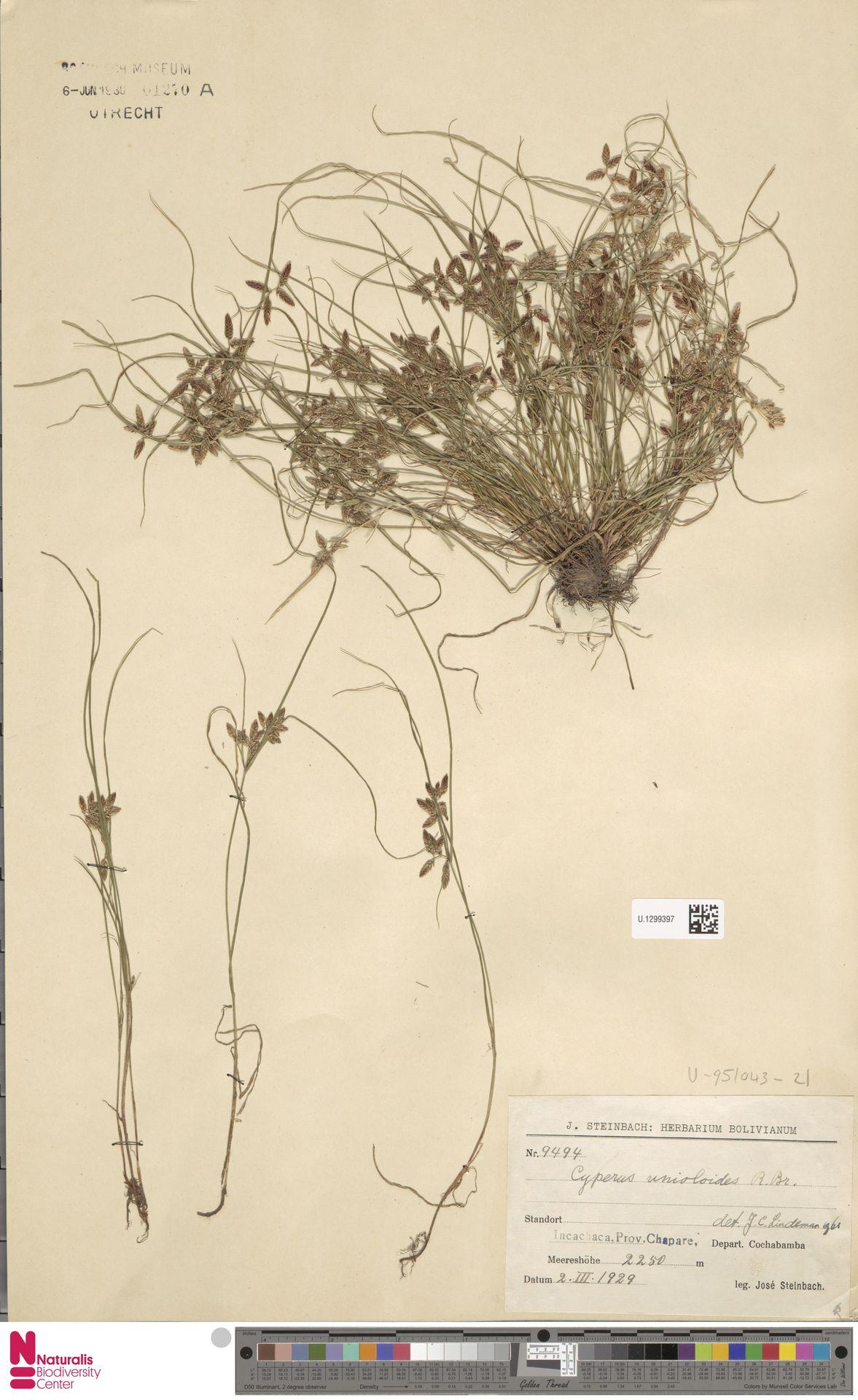 U.1299397 | Cyperus unioloides R.Br.
