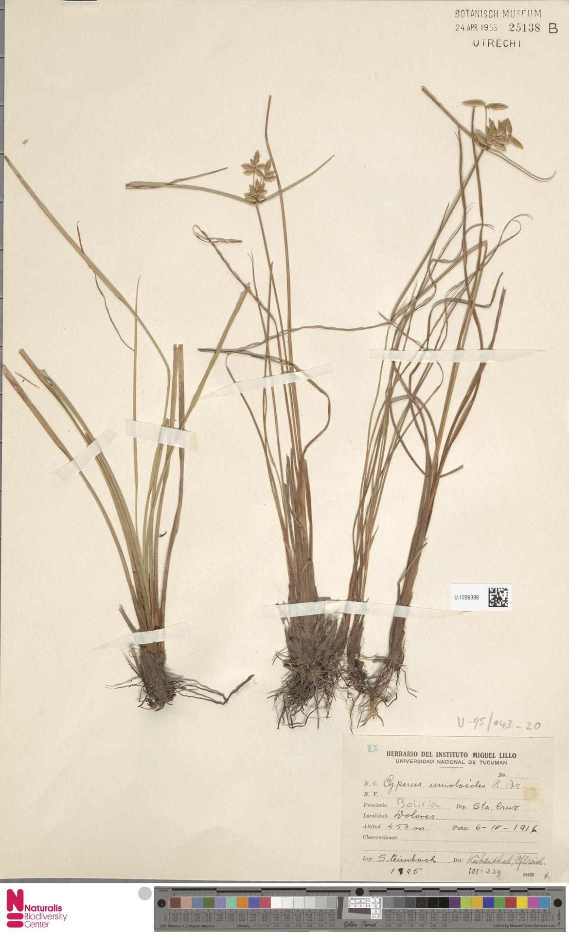 U.1299398 | Cyperus unioloides R.Br.