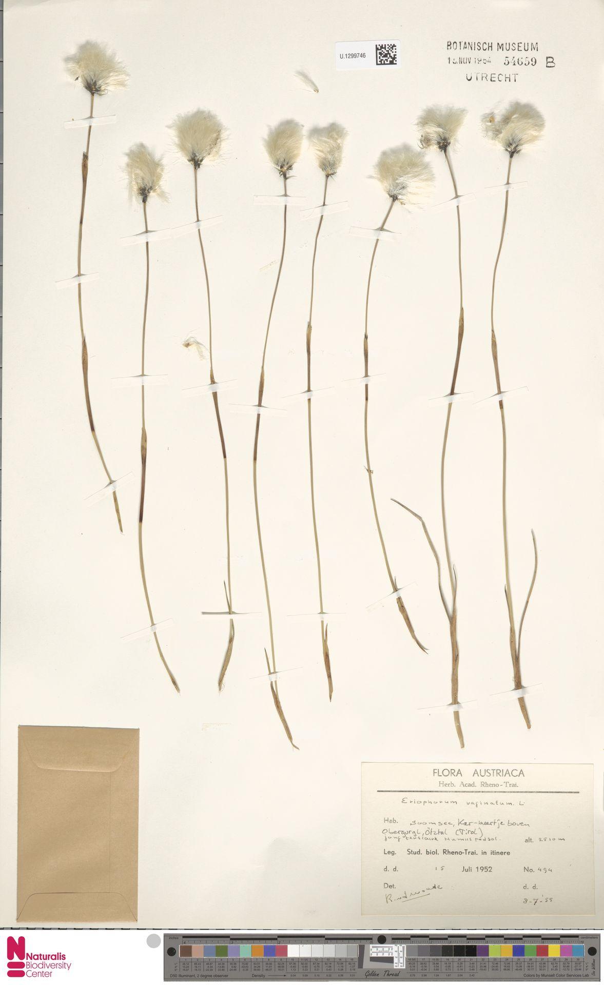 U.1299746   Eriophorum vaginatum L.