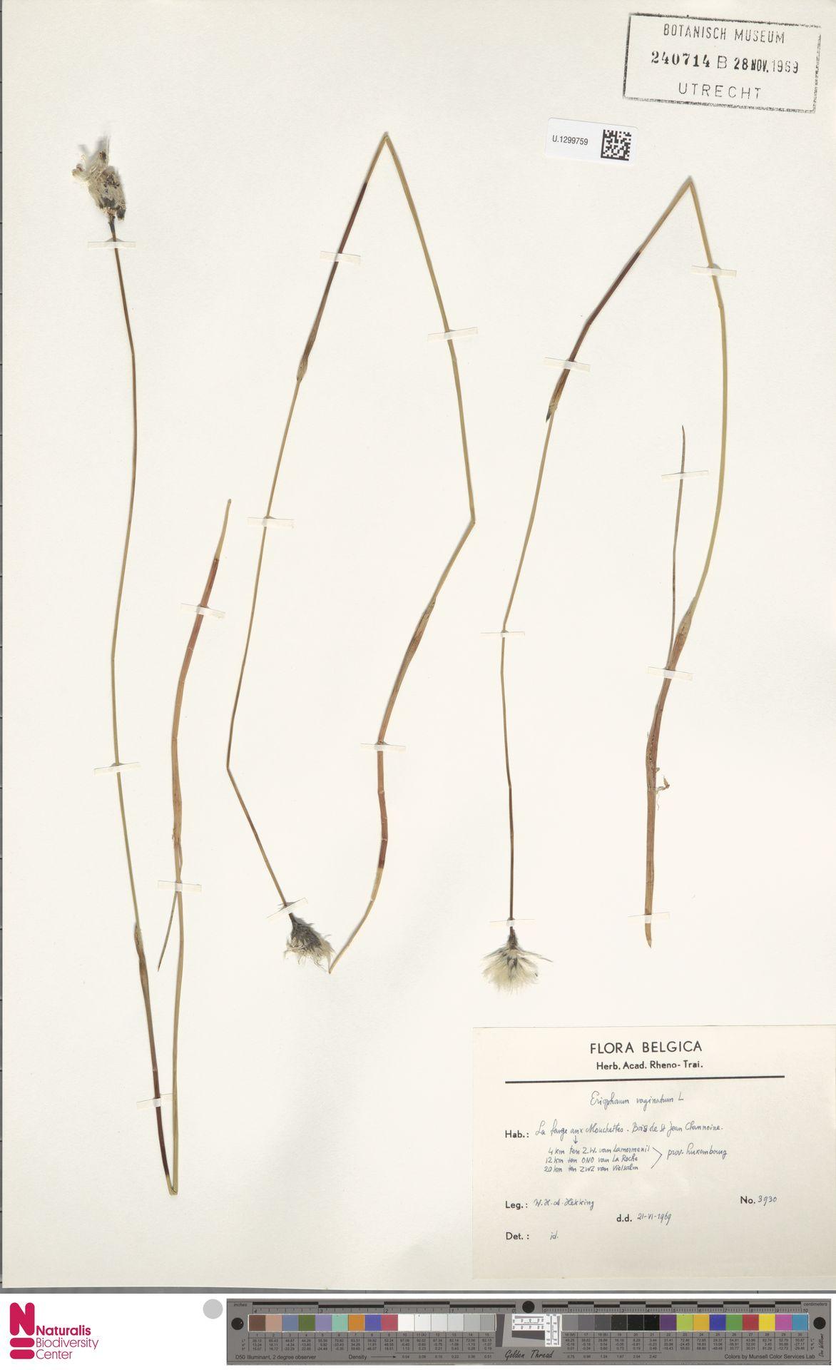 U.1299759 | Eriophorum vaginatum L.