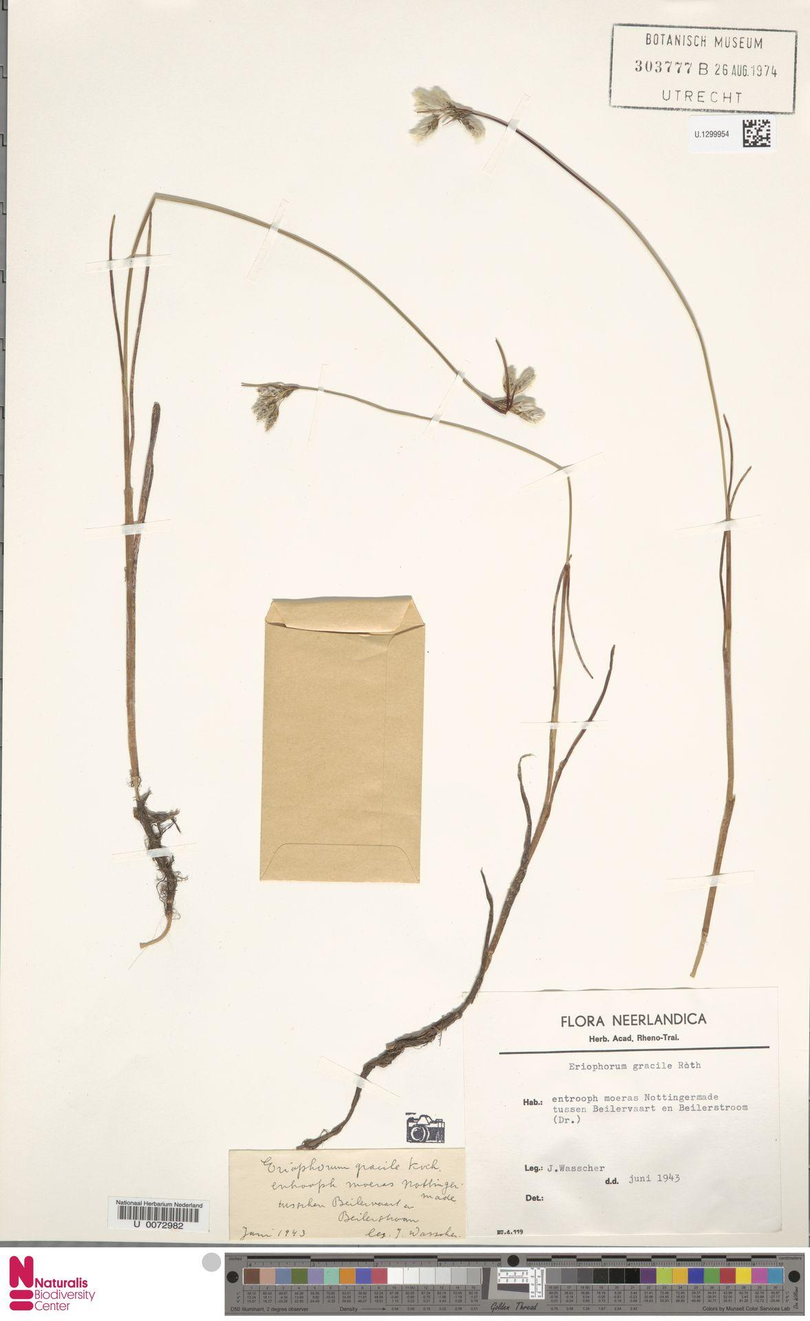 U.1299954 | Eriophorum gracile Koch