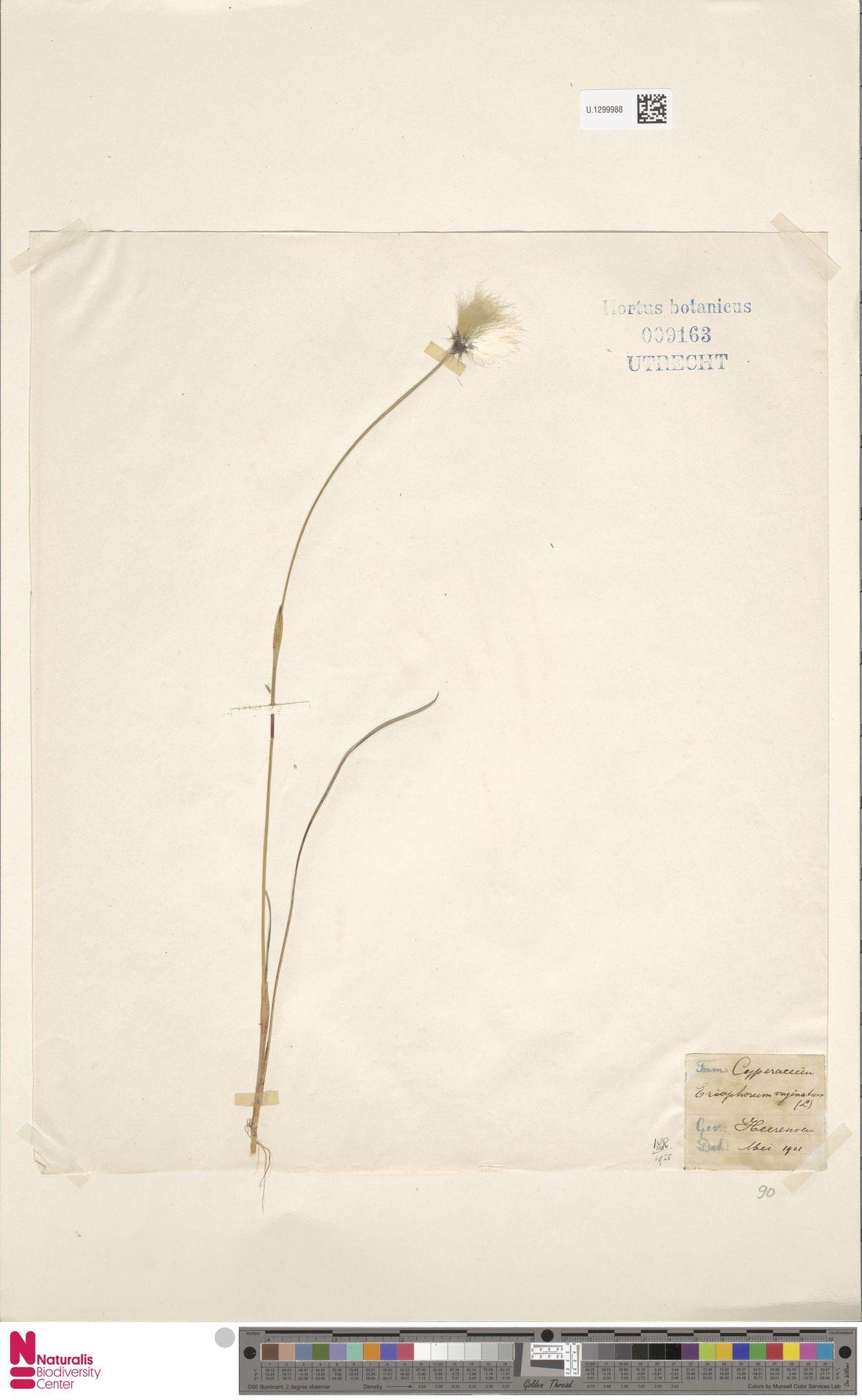 U.1299988 | Eriophorum vaginatum L.