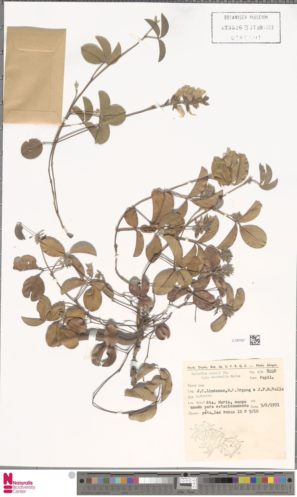 U.1301937 | Galactia neesii var. australis Malme