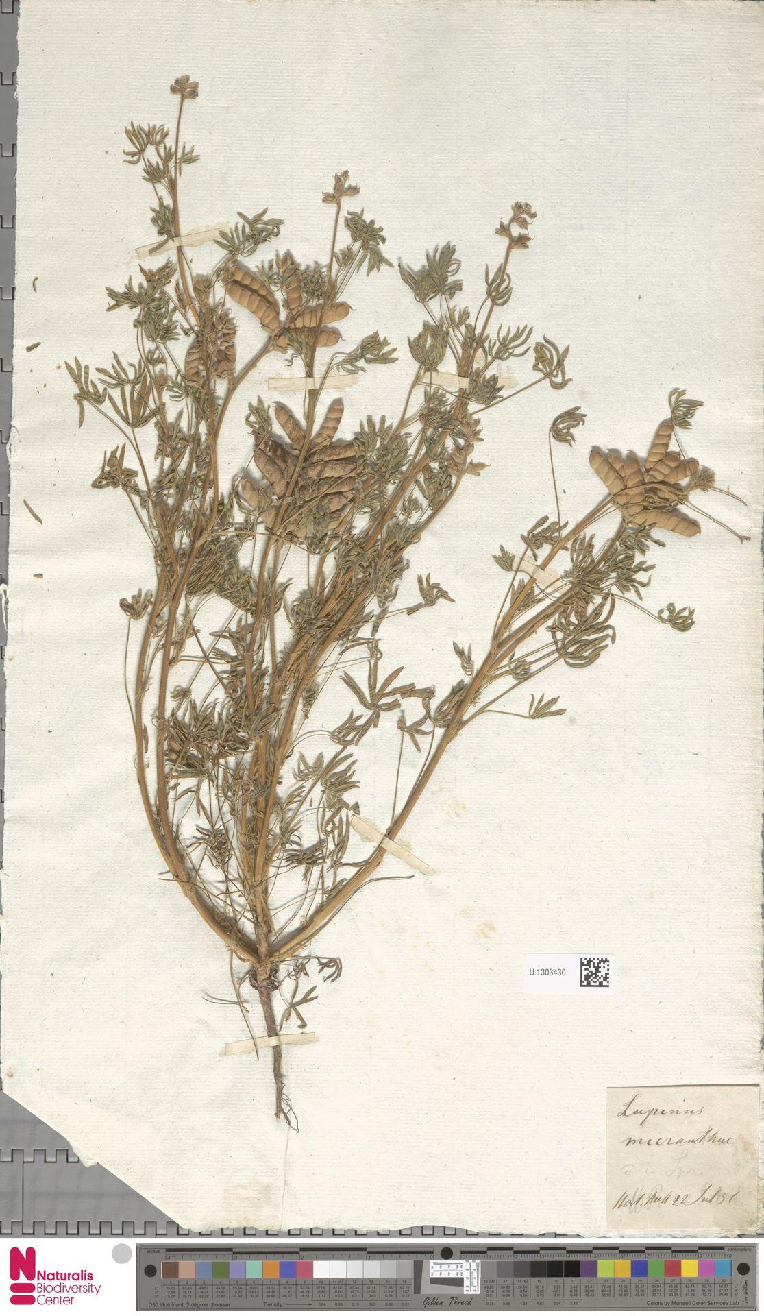 U.1303430 | Lupinus micranthus Douglas ex Lindl.