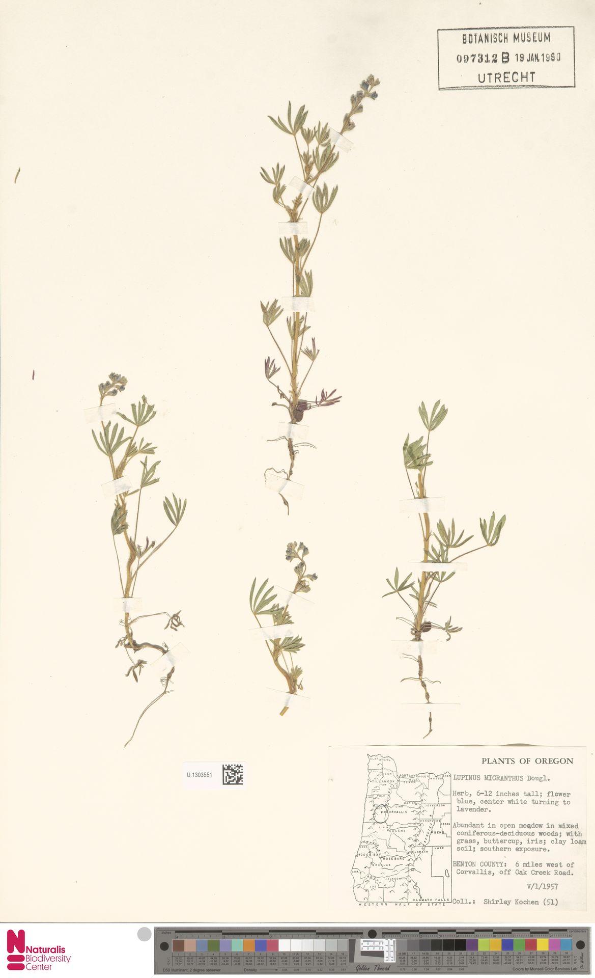 U.1303551 | Lupinus micranthus Douglas ex Lindl.