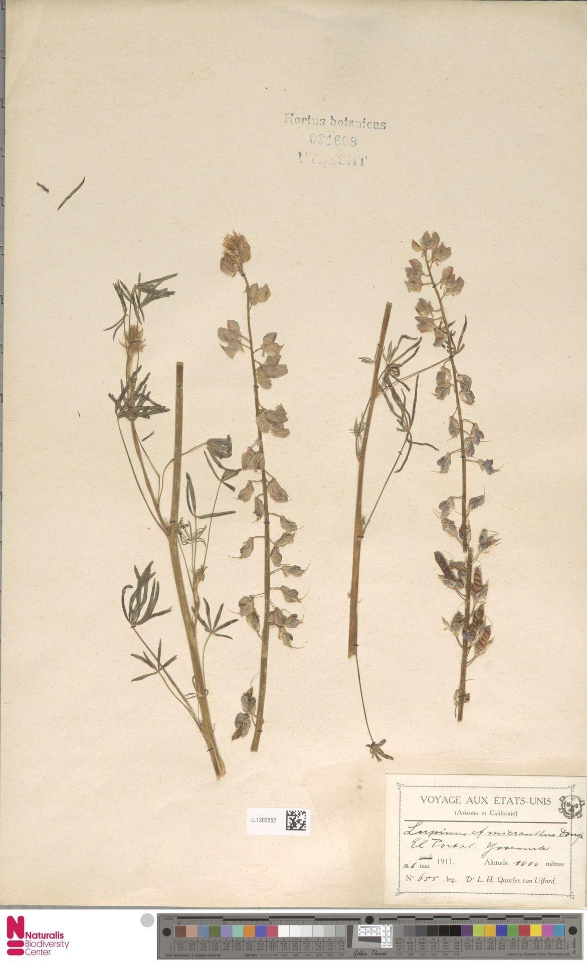U.1303552 | Lupinus micranthus Douglas ex Lindl.