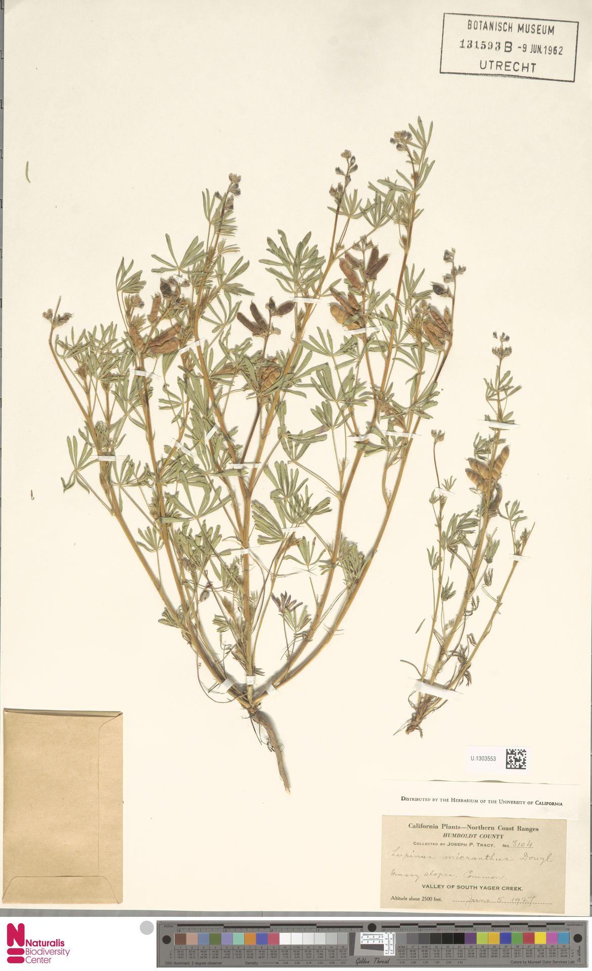 U.1303553 | Lupinus micranthus Douglas ex Lindl.