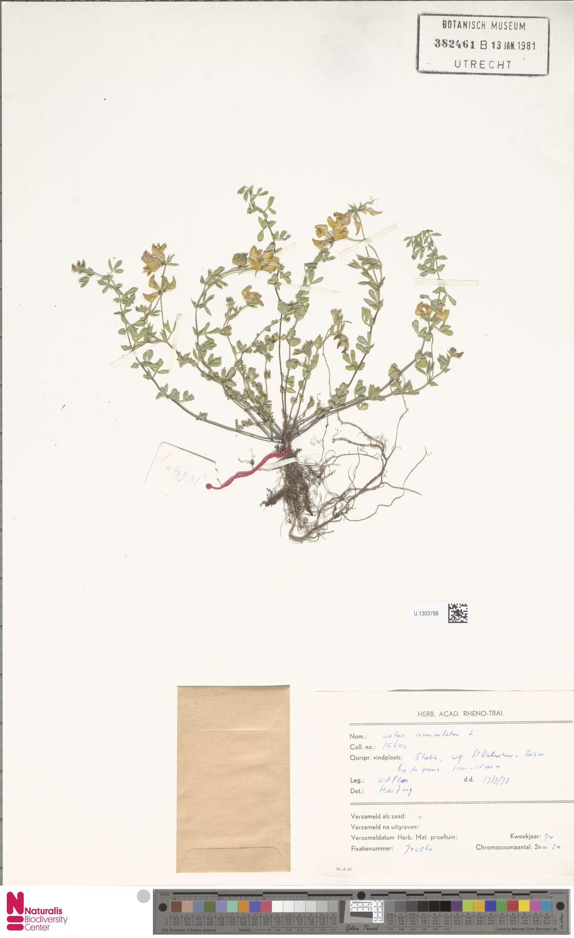 U.1303798 | Lotus corniculatus L.