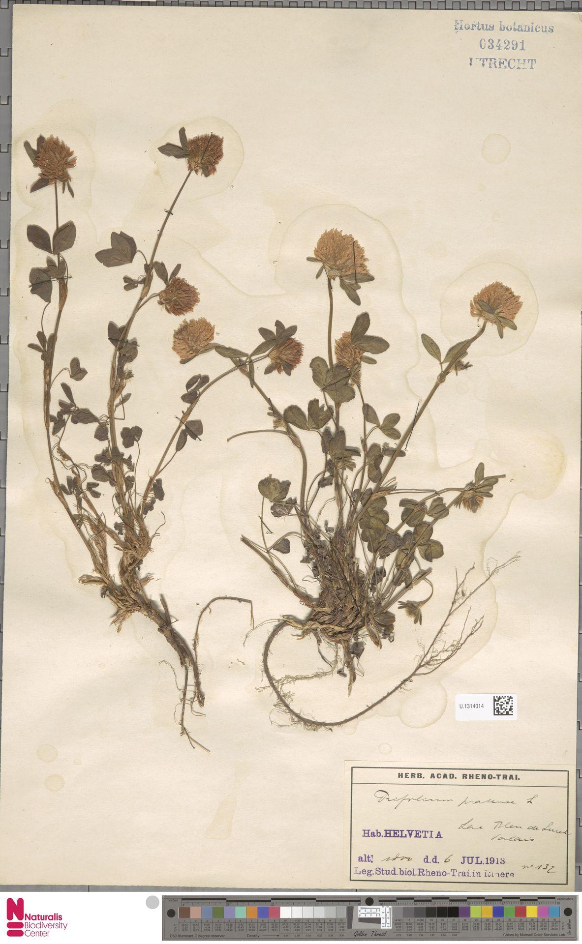 U.1314014   Trifolium pratense L.