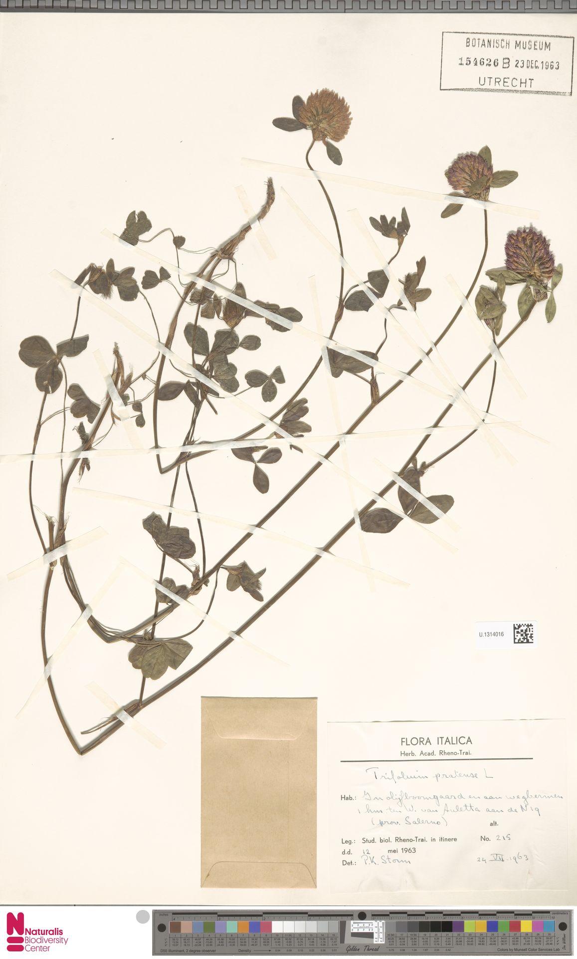 U.1314016 | Trifolium pratense L.