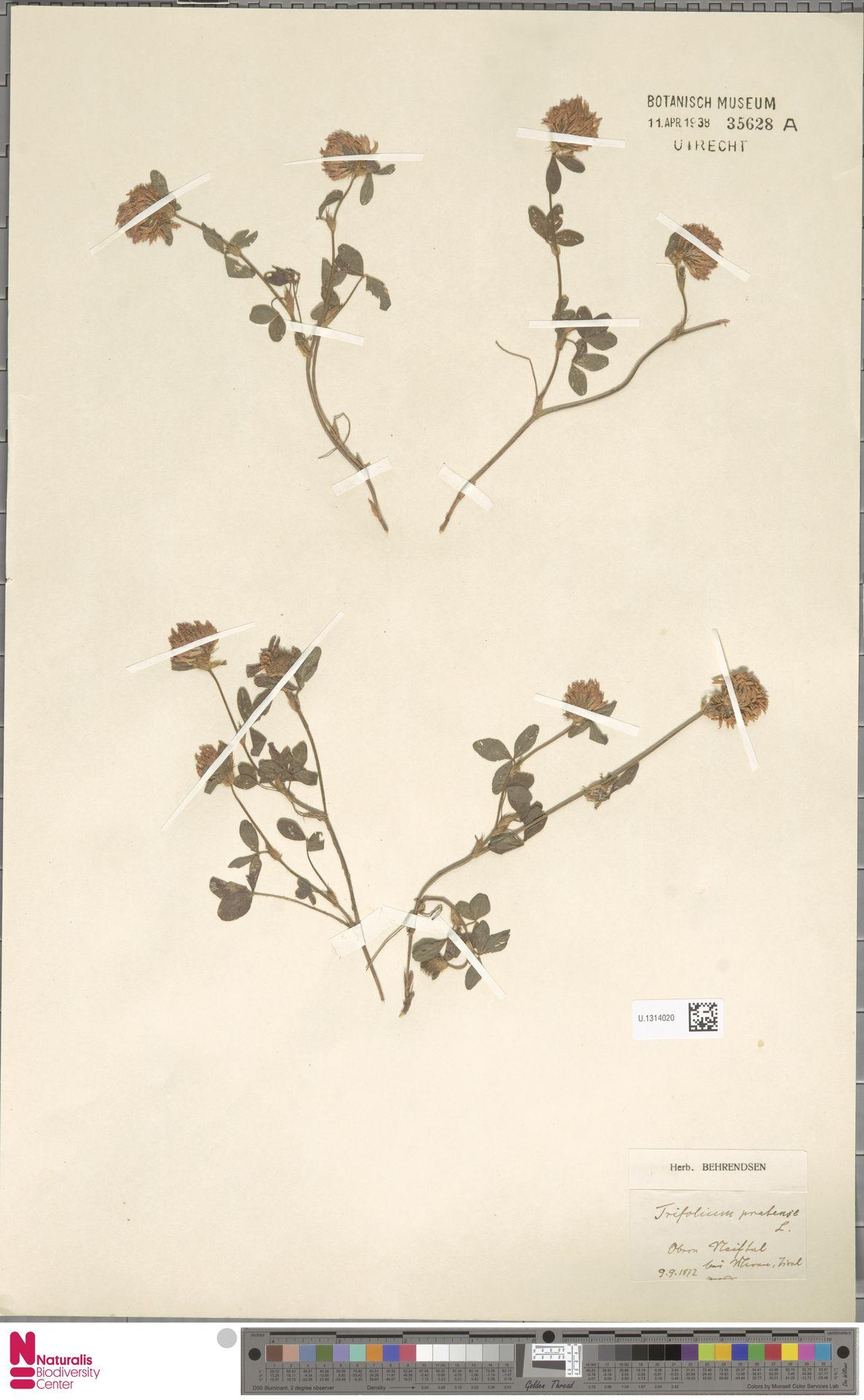 U.1314020 | Trifolium pratense L.