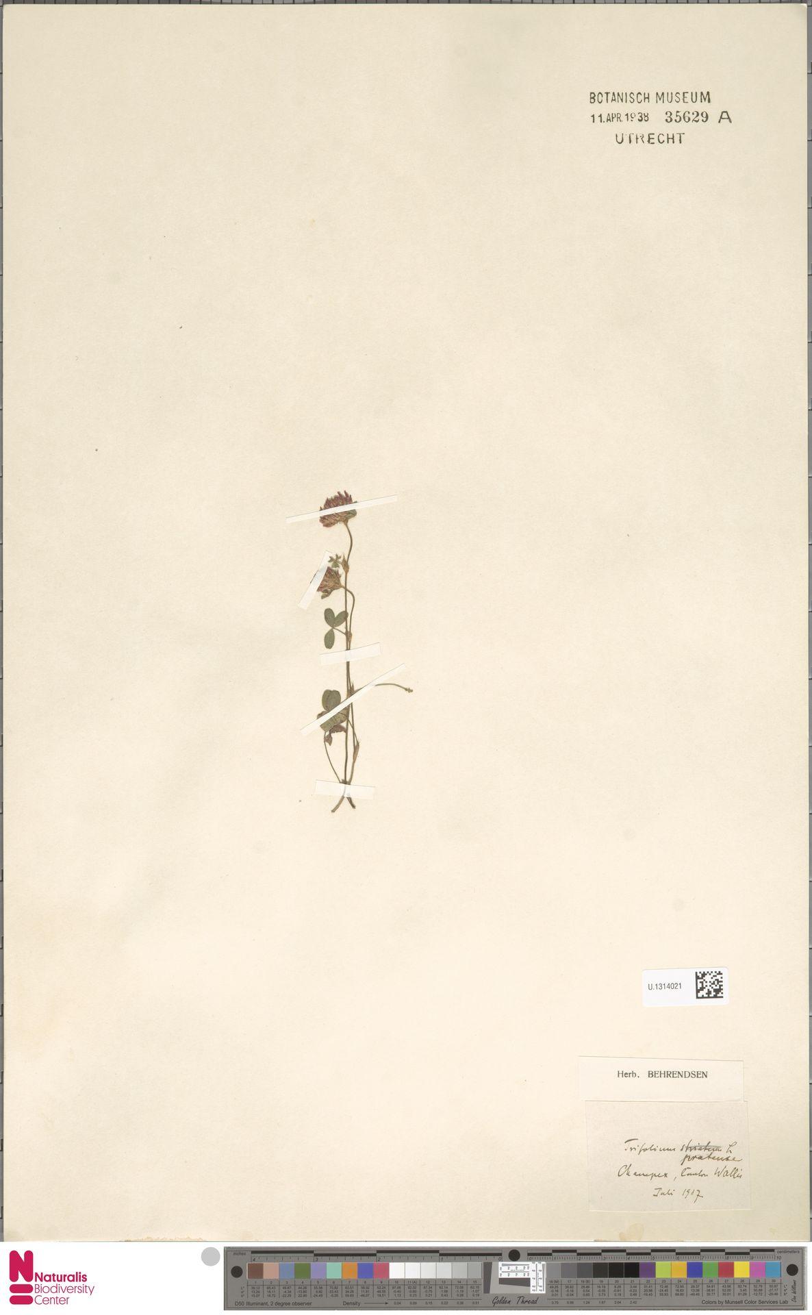 U.1314021 | Trifolium pratense L.