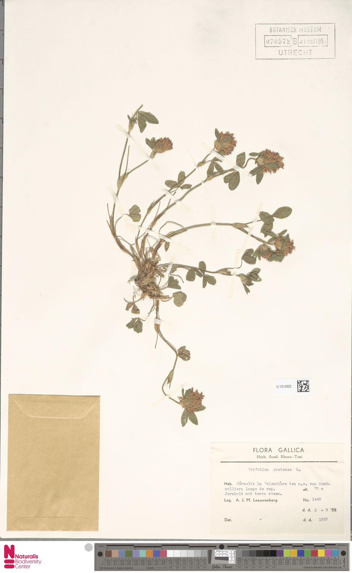U.1314023   Trifolium pratense L.