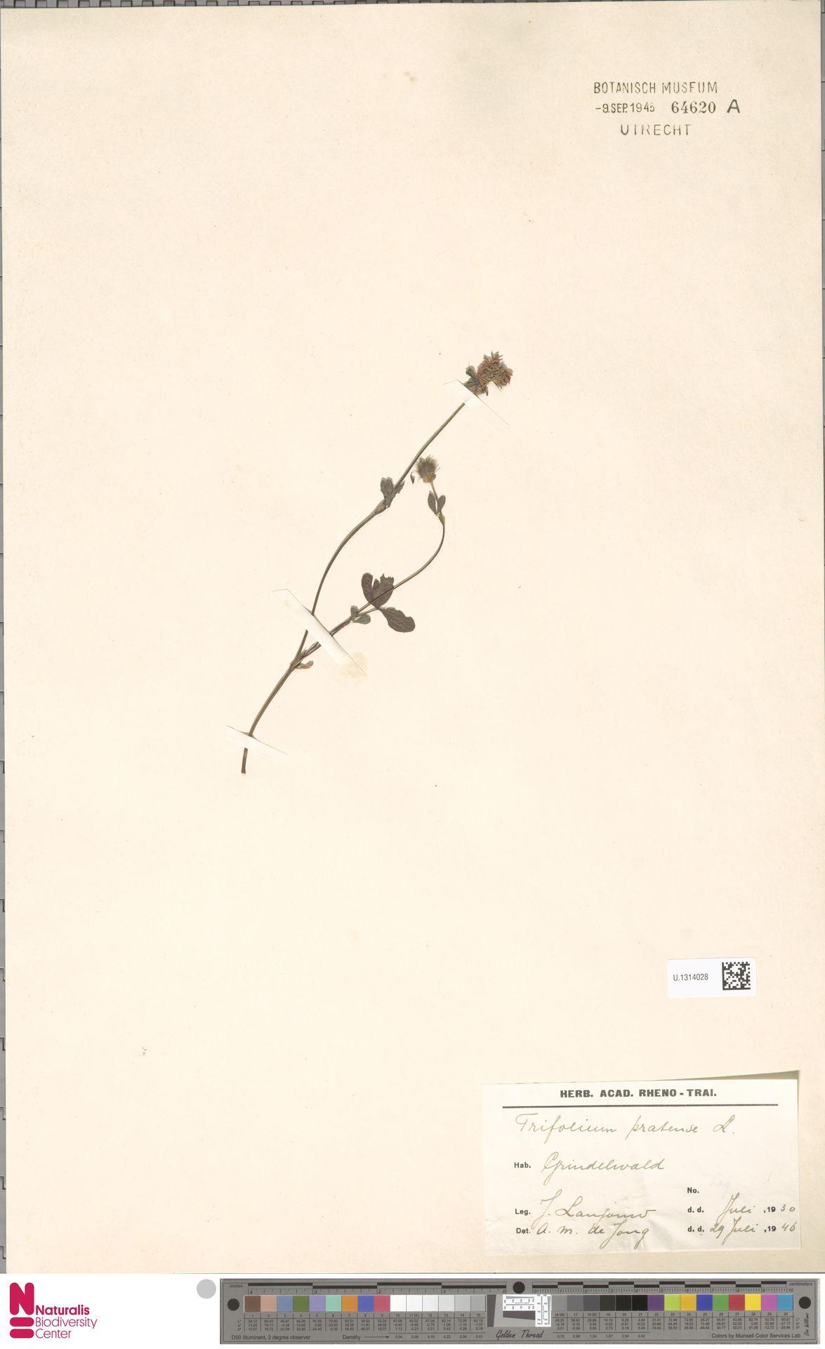 U.1314028   Trifolium pratense L.