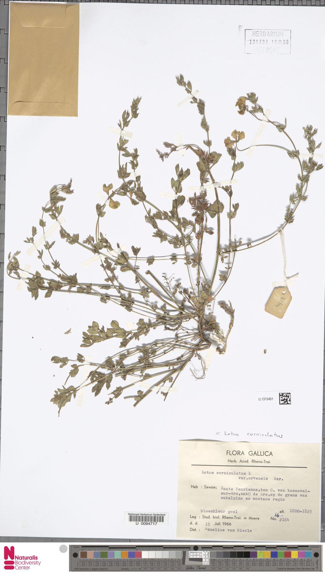 U.1315451 | Lotus corniculatus L.
