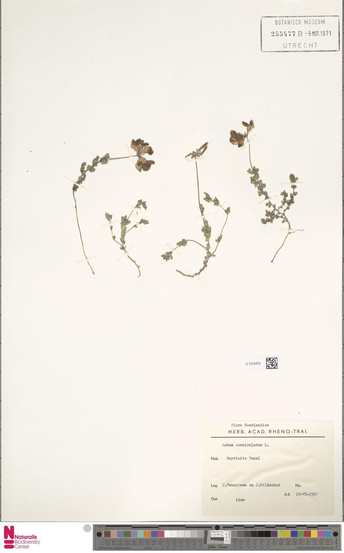 U.1315470 | Lotus corniculatus L.