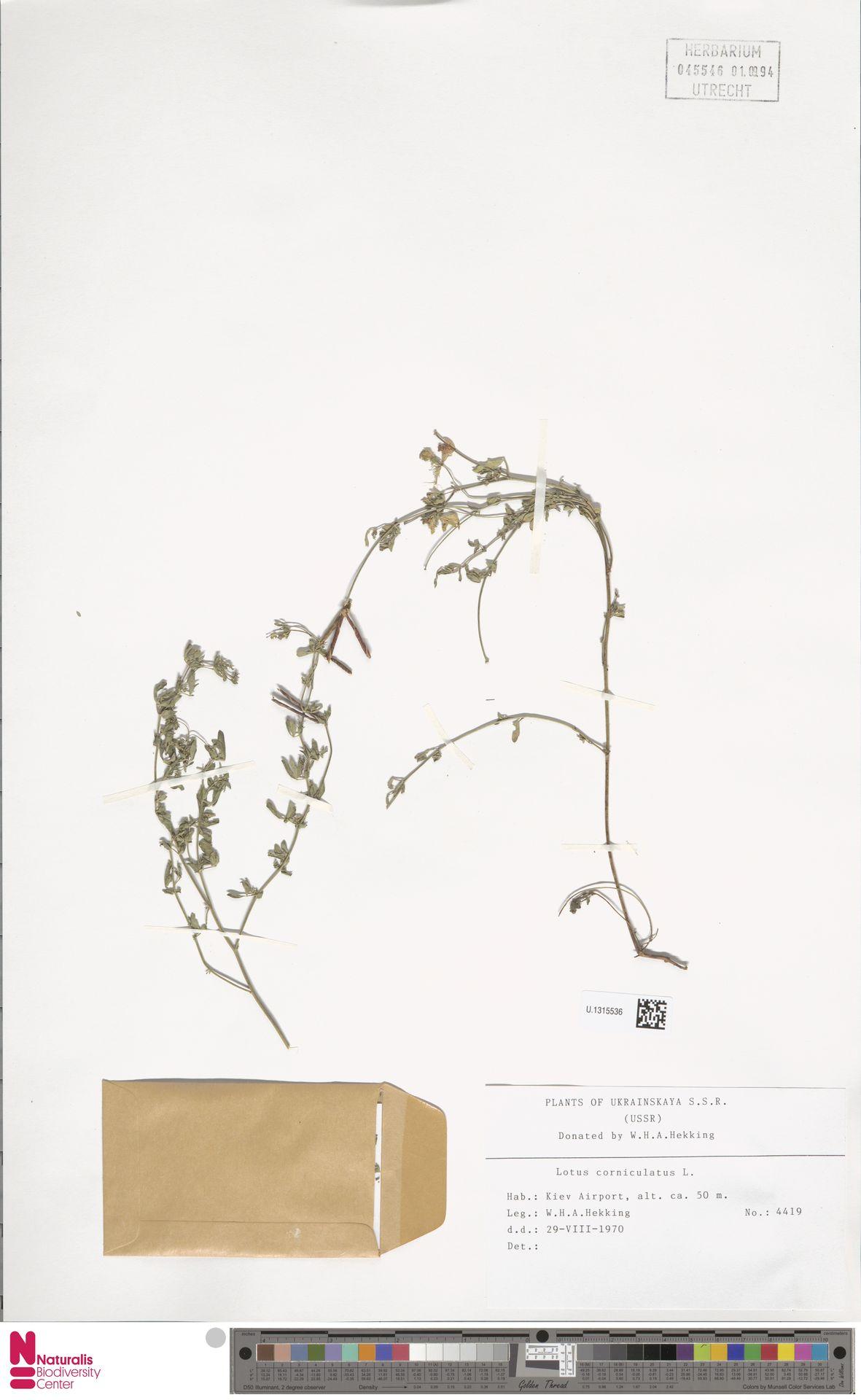 U.1315536 | Lotus corniculatus L.
