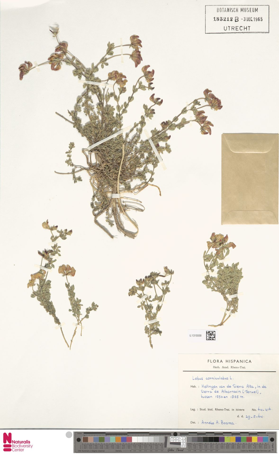 U.1315558 | Lotus corniculatus L.