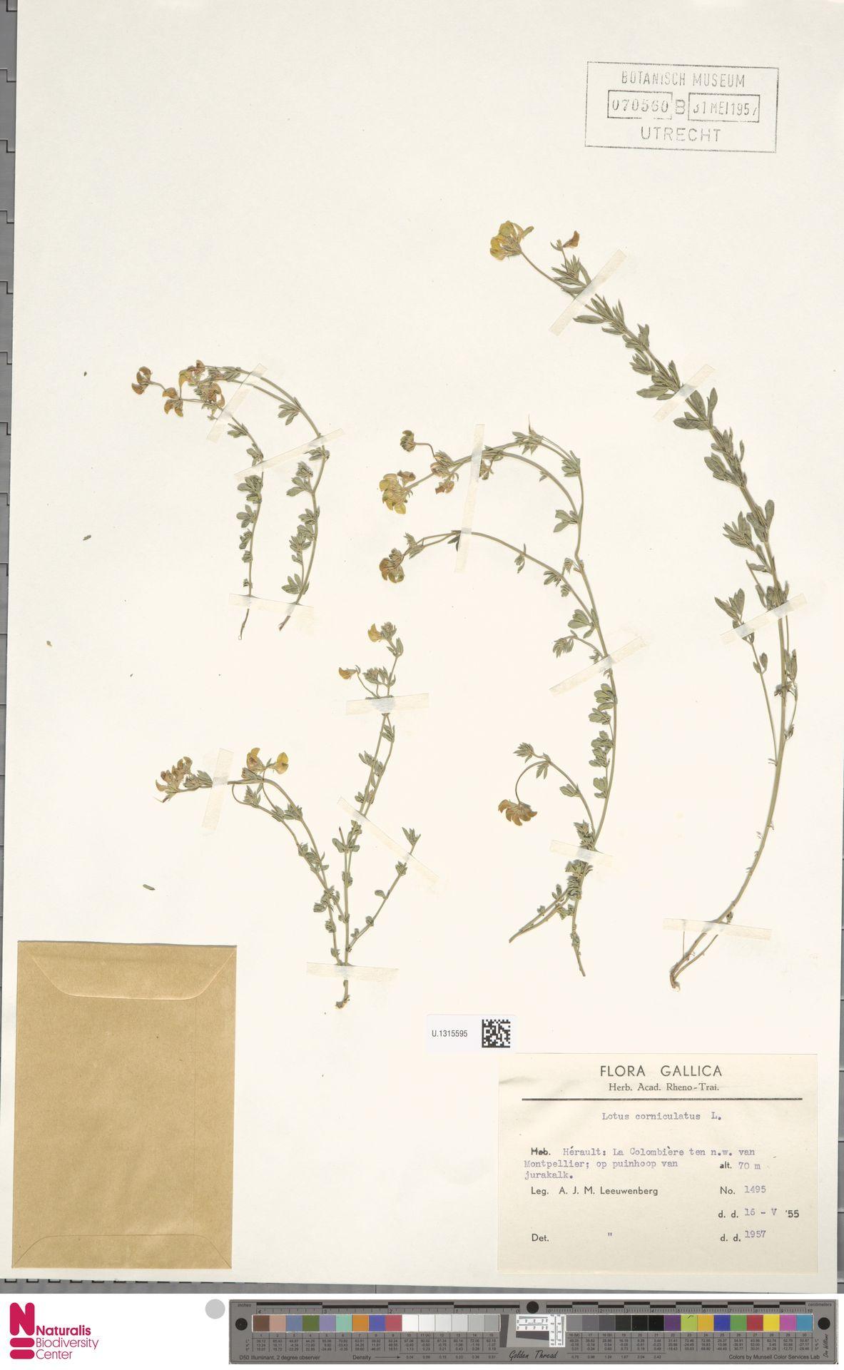 U.1315595 | Lotus corniculatus L.