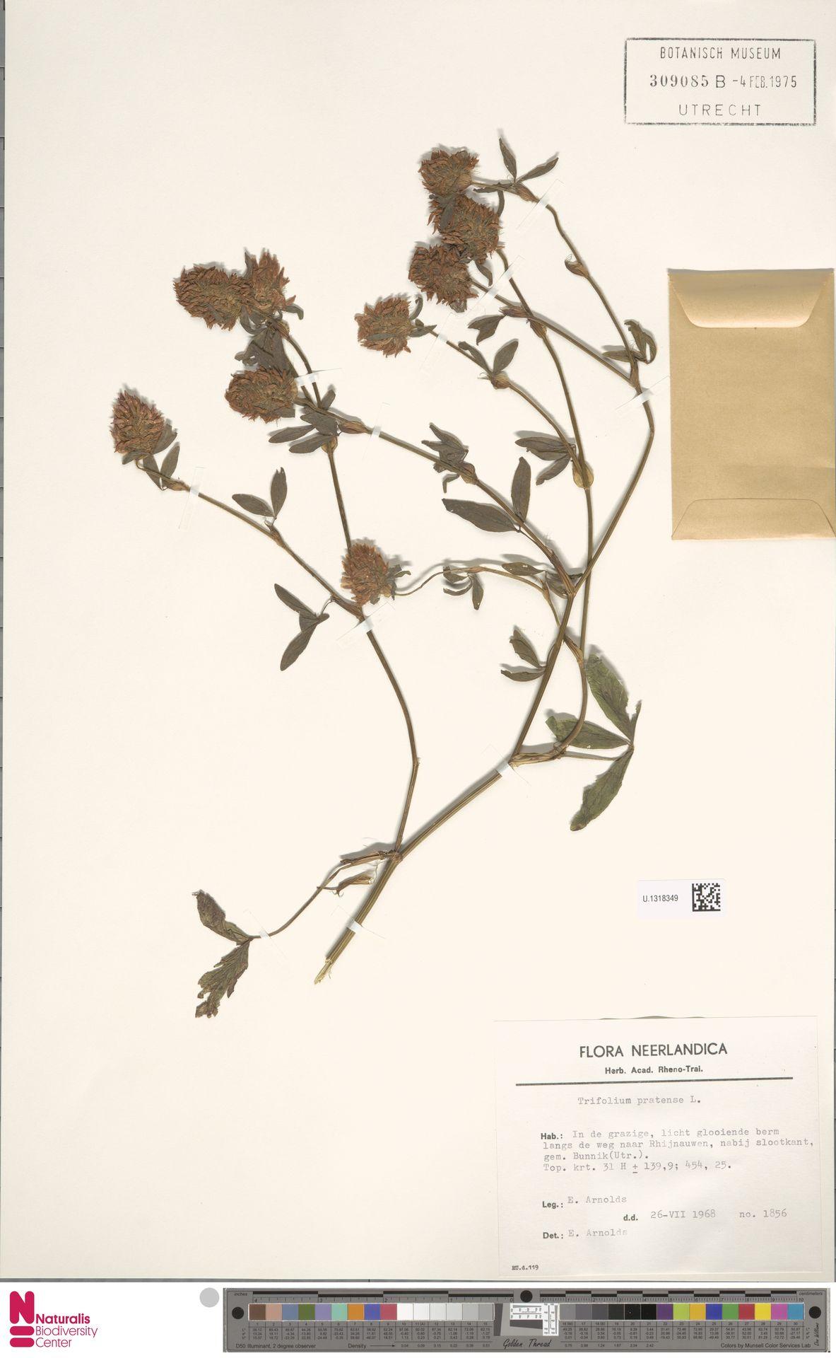 U.1318349 | Trifolium pratense L.