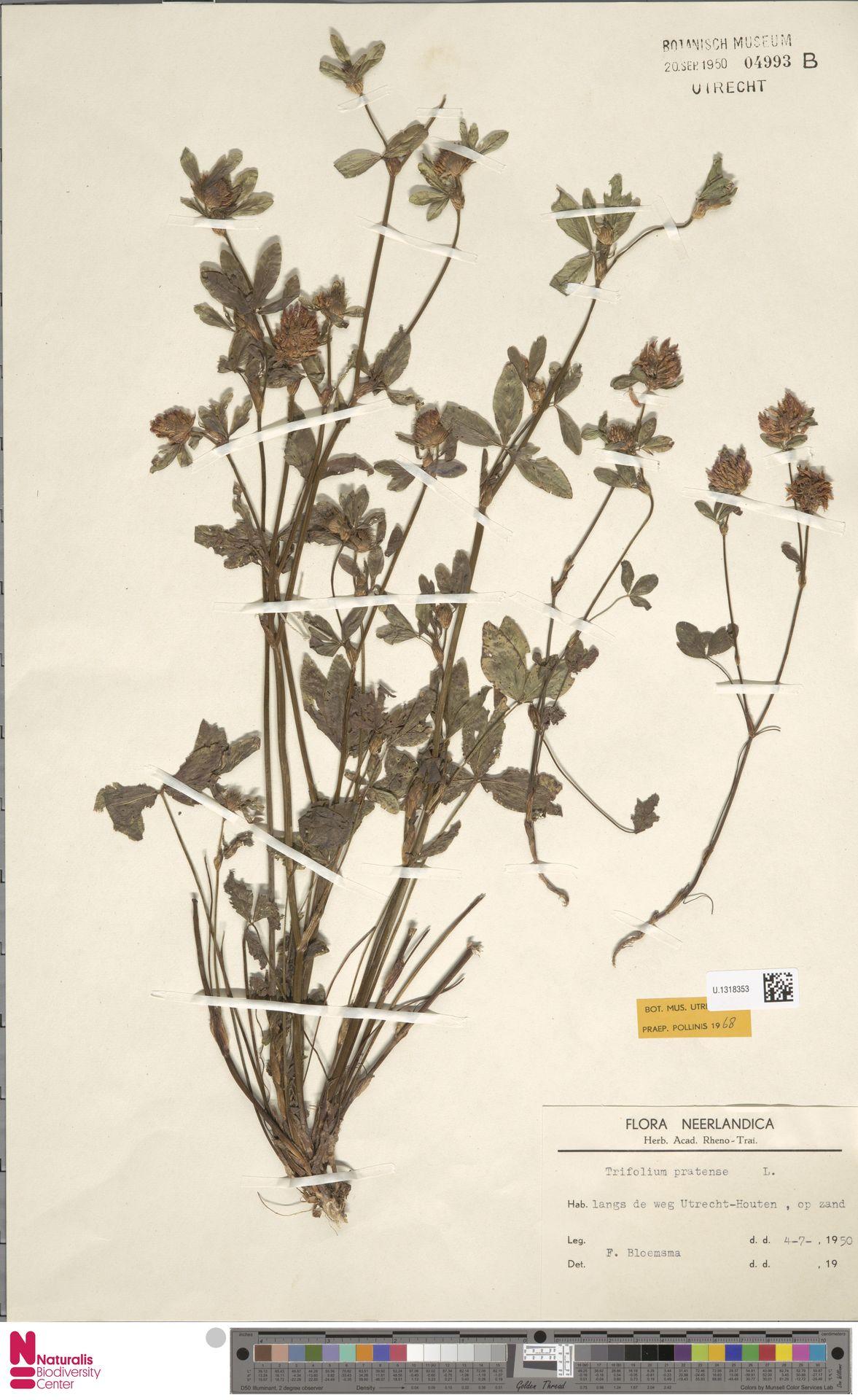 U.1318353 | Trifolium pratense L.