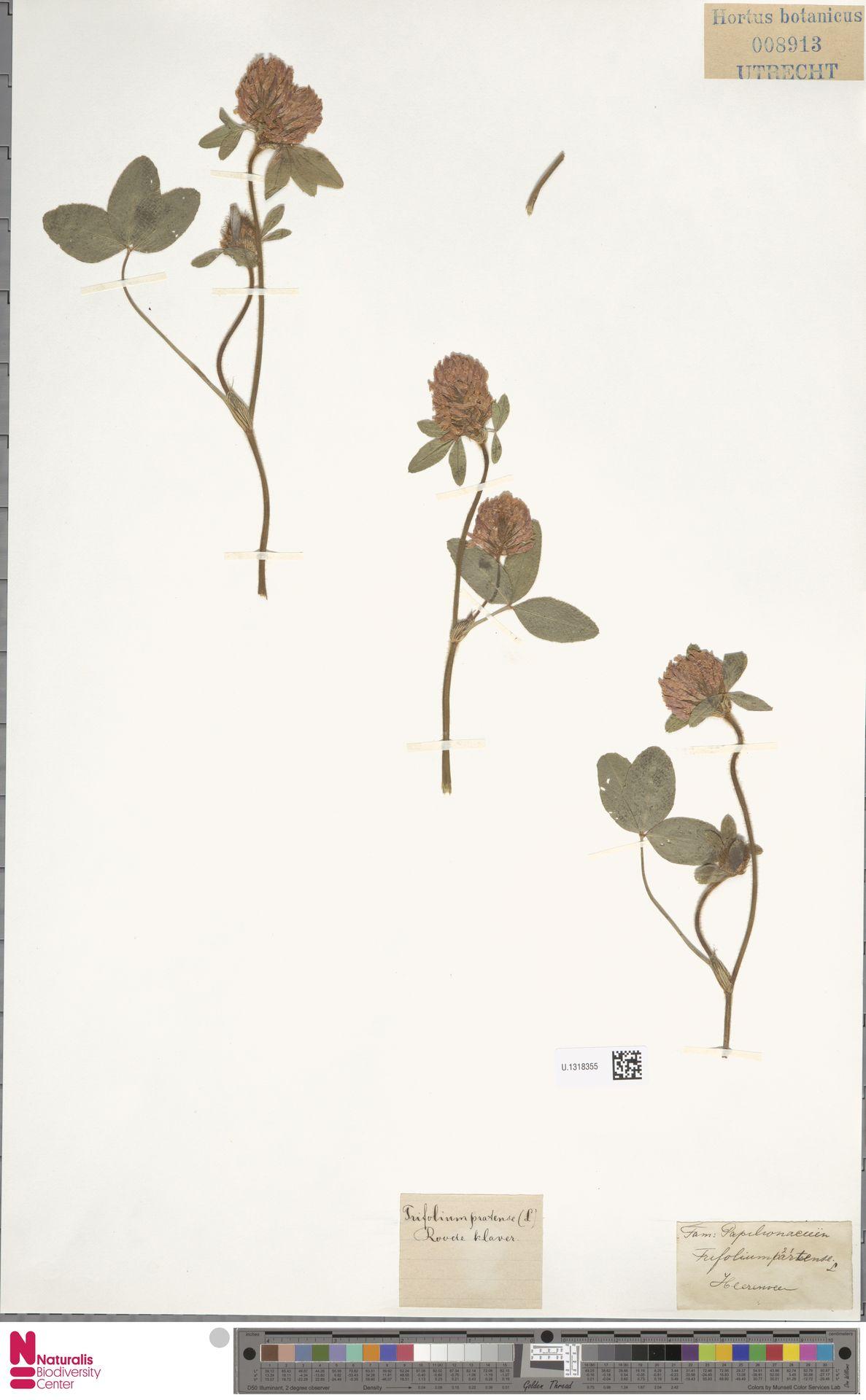U.1318355   Trifolium pratense L.