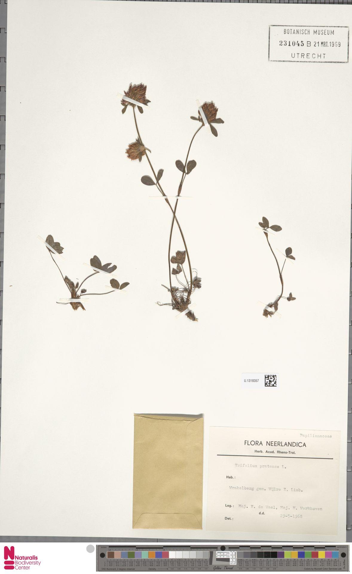 U.1318357 | Trifolium pratense L.