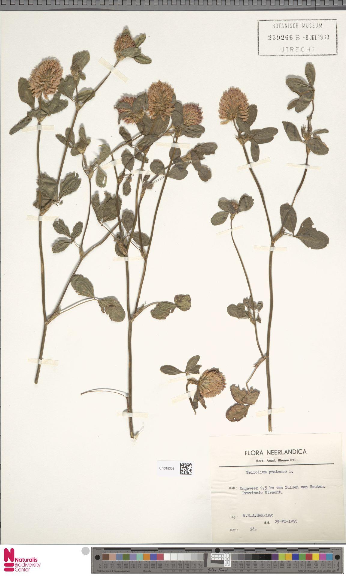 U.1318359 | Trifolium pratense L.