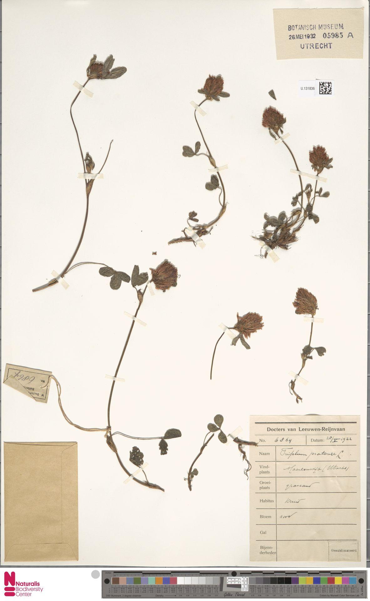 U.1318365 | Trifolium pratense L.