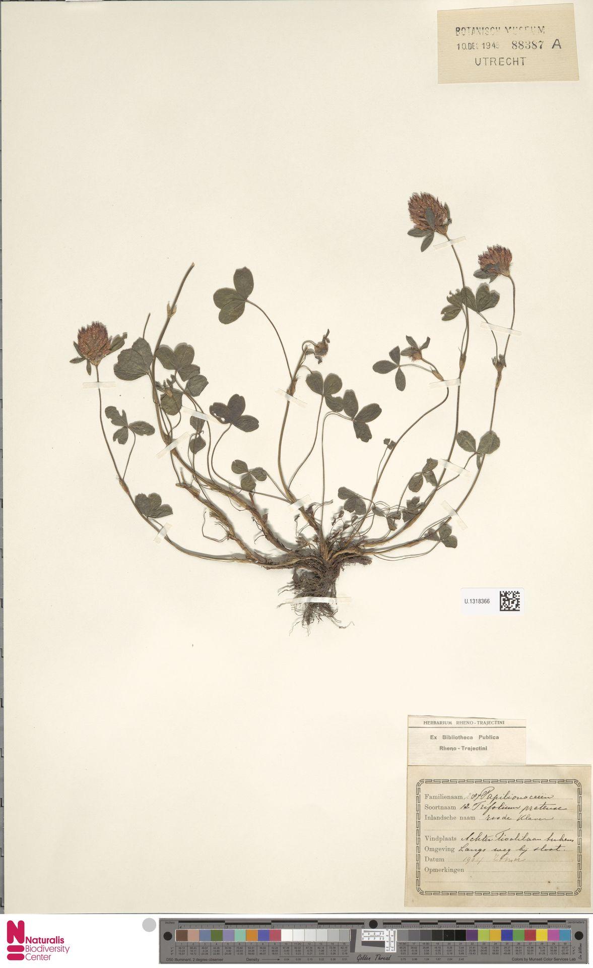 U.1318366 | Trifolium pratense L.