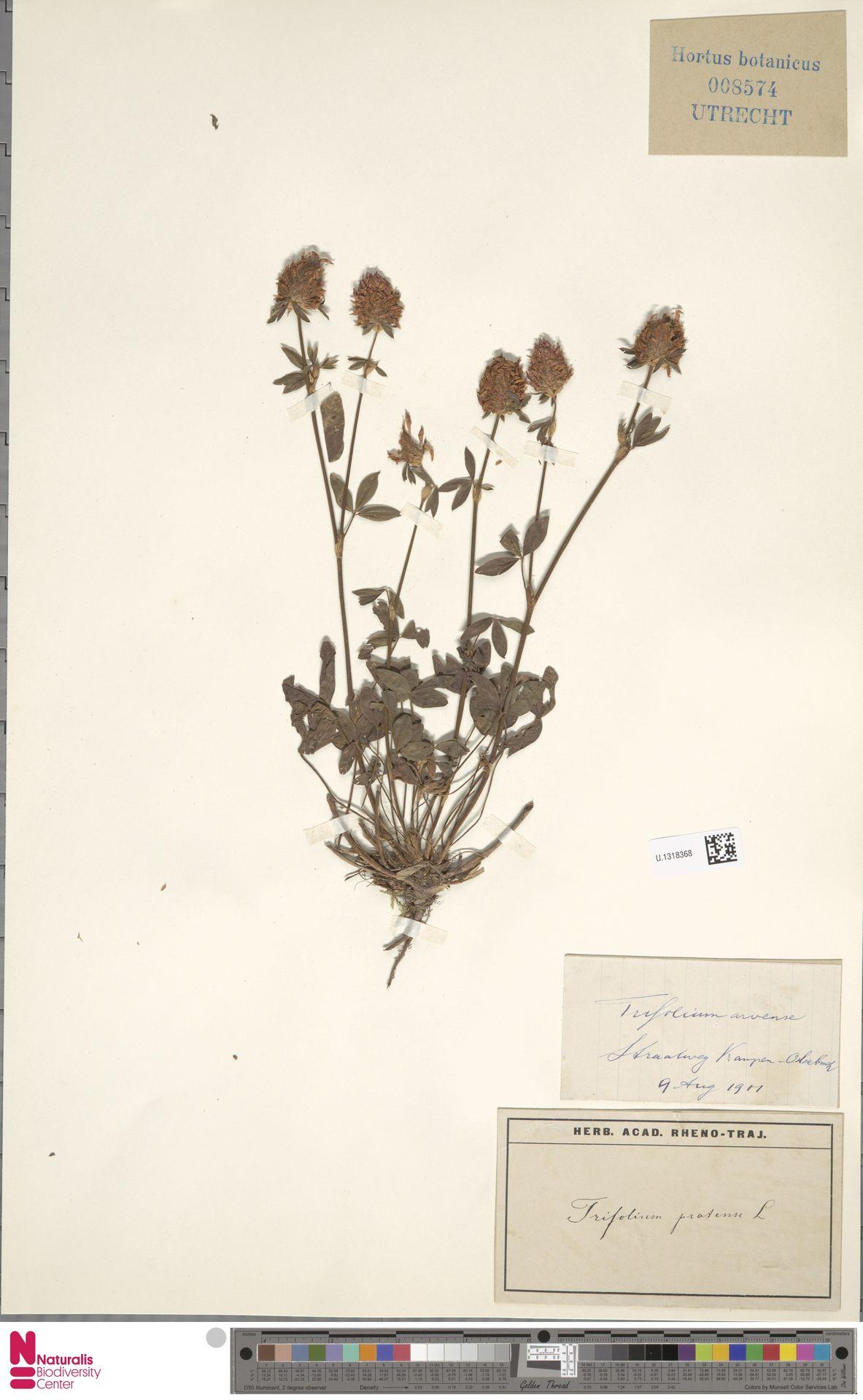 U.1318368 | Trifolium pratense L.