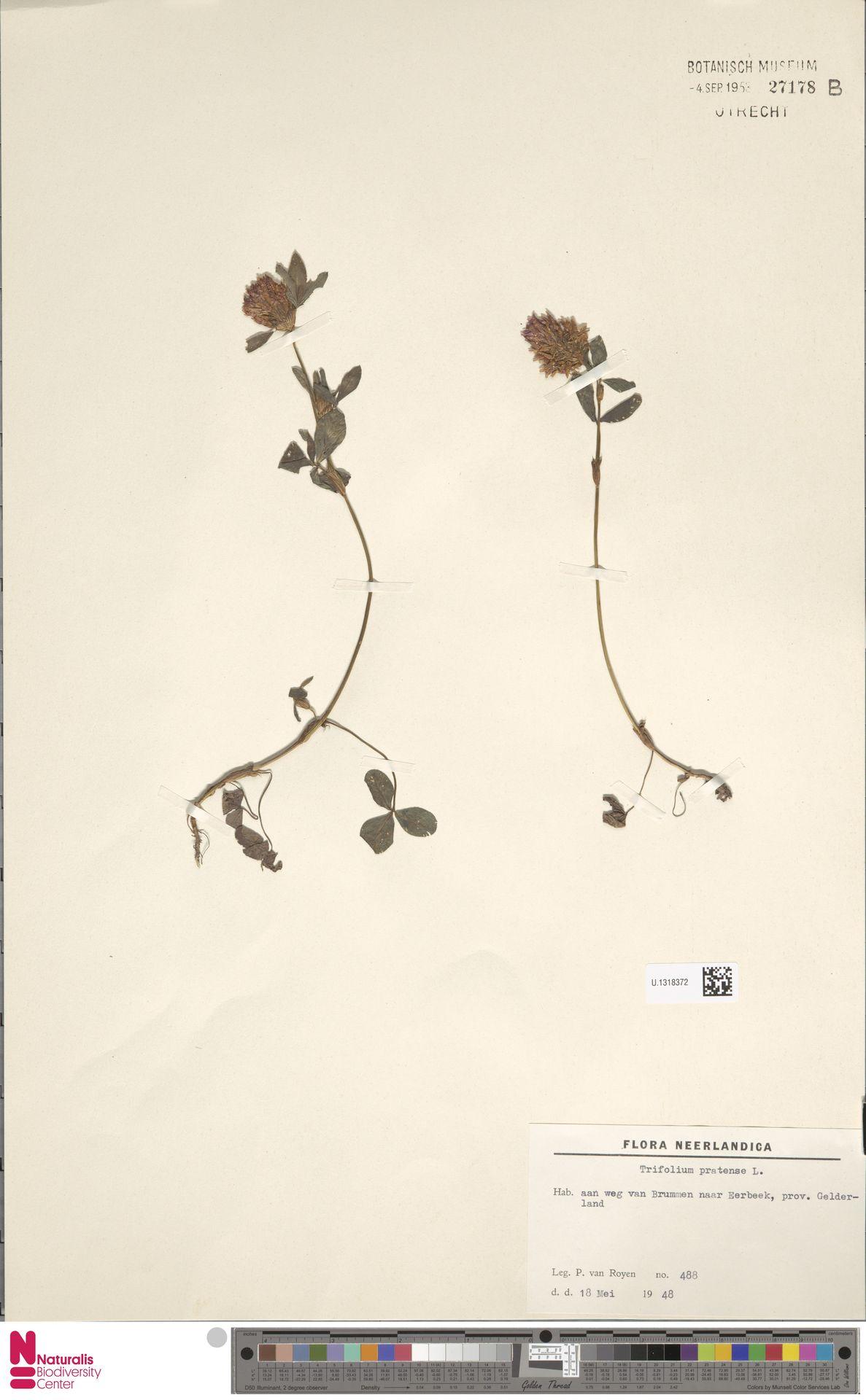 U.1318372 | Trifolium pratense L.
