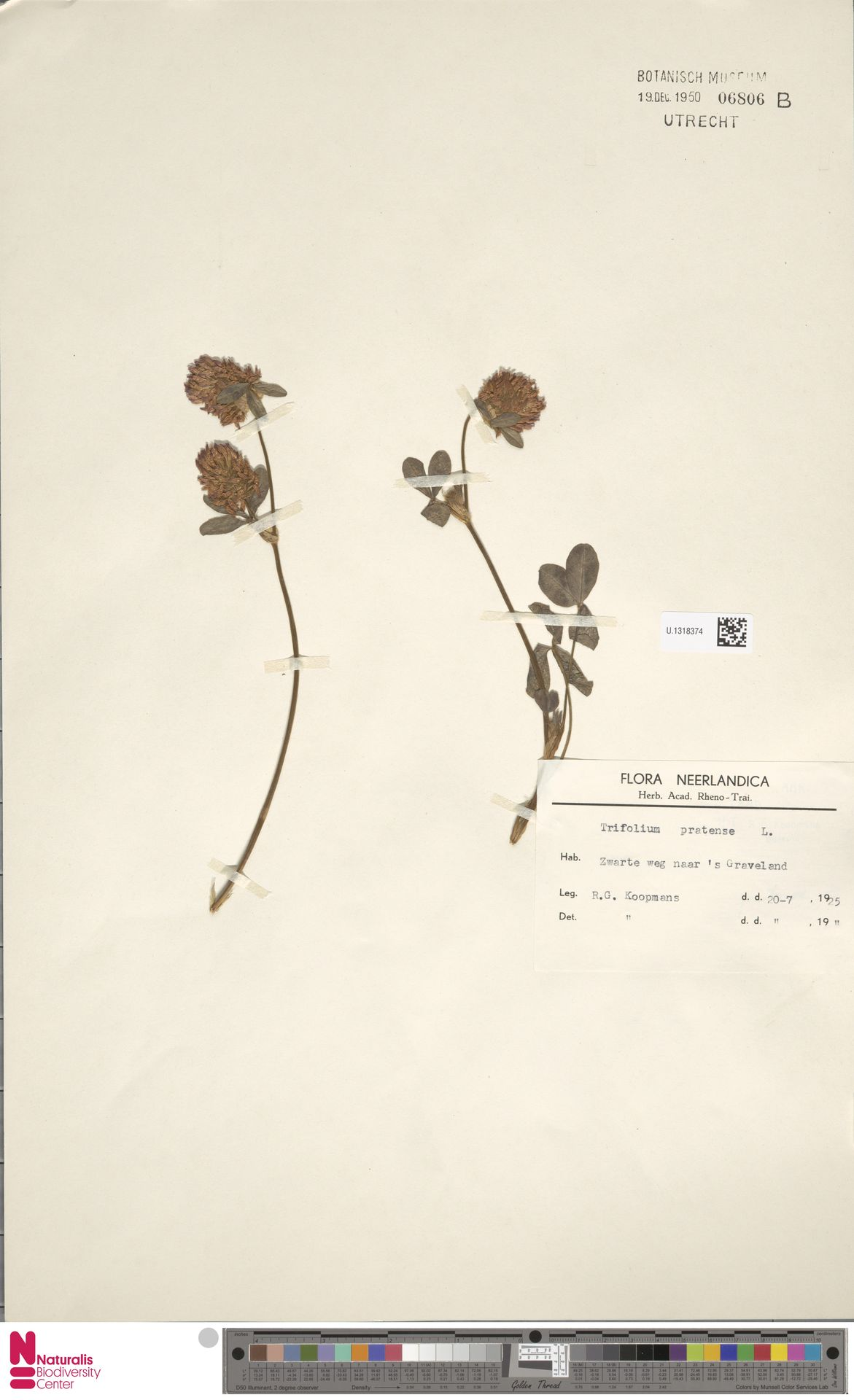 U.1318374 | Trifolium pratense L.