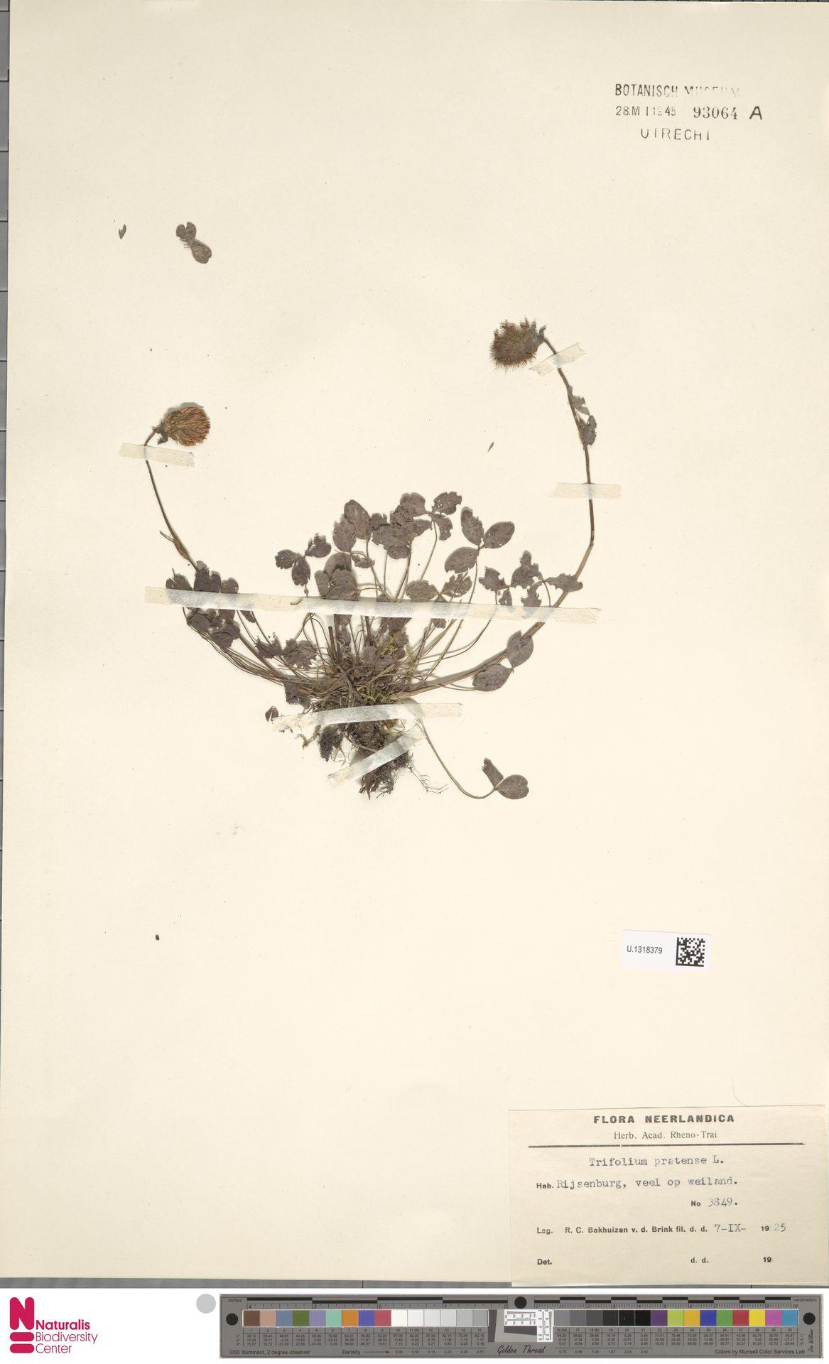 U.1318379 | Trifolium pratense L.