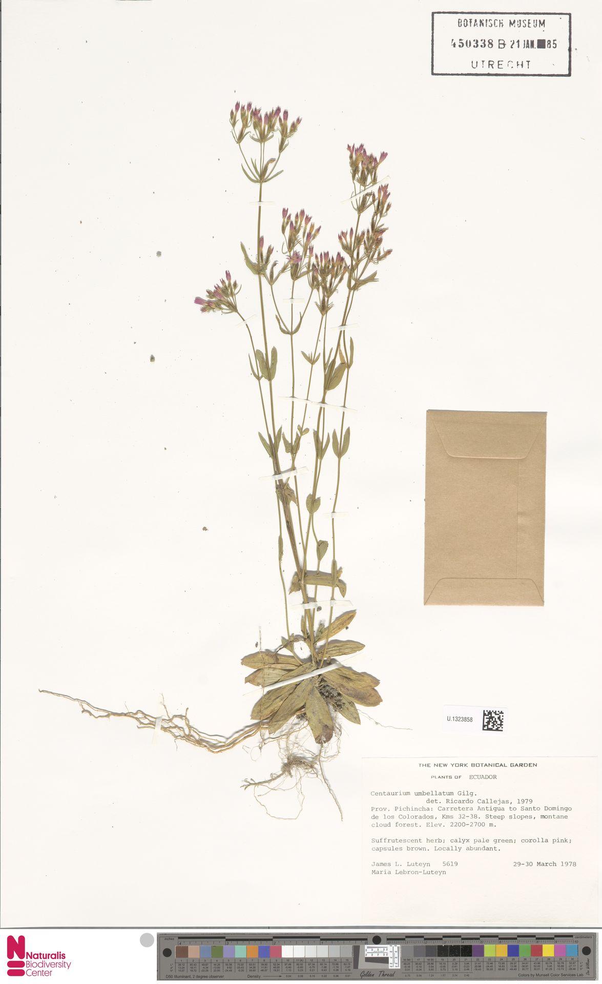 U.1323858 | Centaurium umbellatum Gilib.