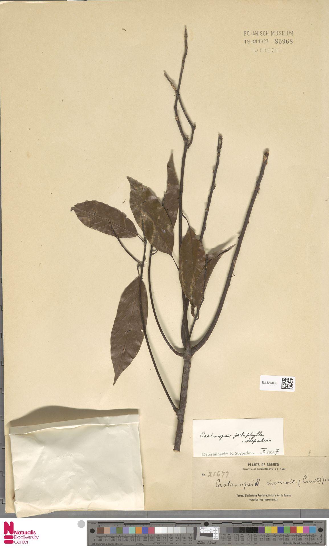 U.1324346 | Castanopsis inermis (Lindl.) Benth. & Hook.f.