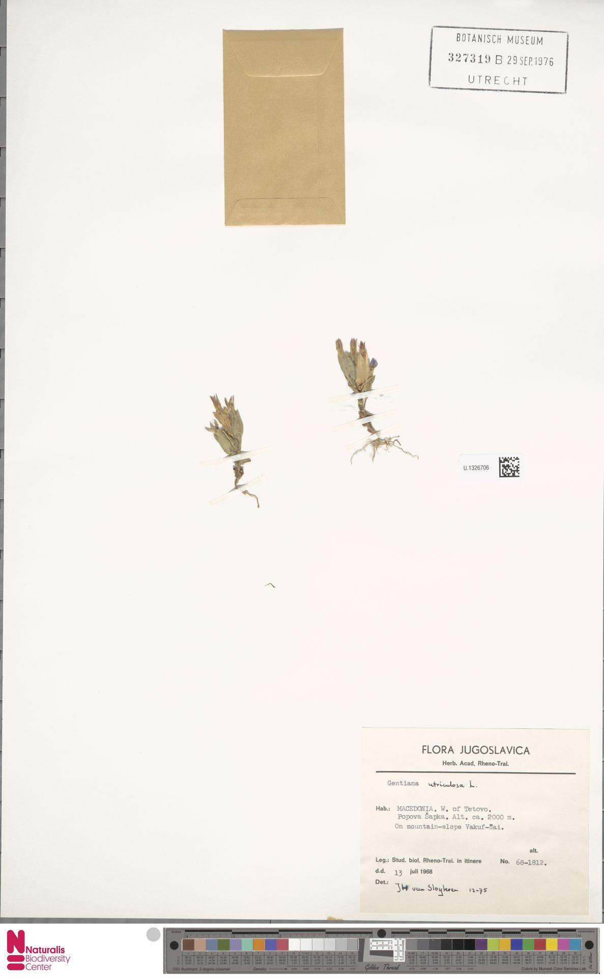 U.1326706 | Gentiana utriculosa L.