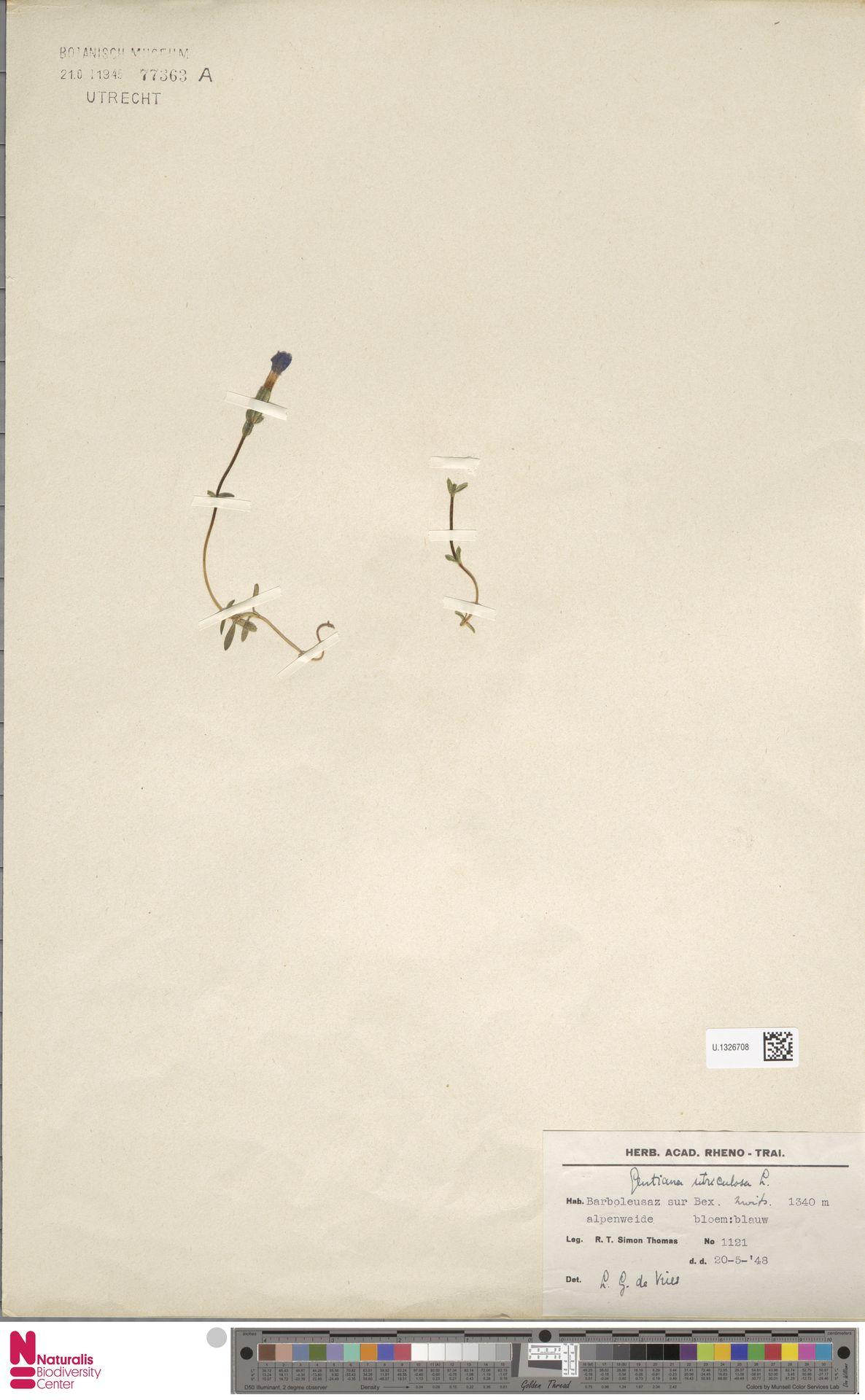 U.1326708 | Gentiana utriculosa L.