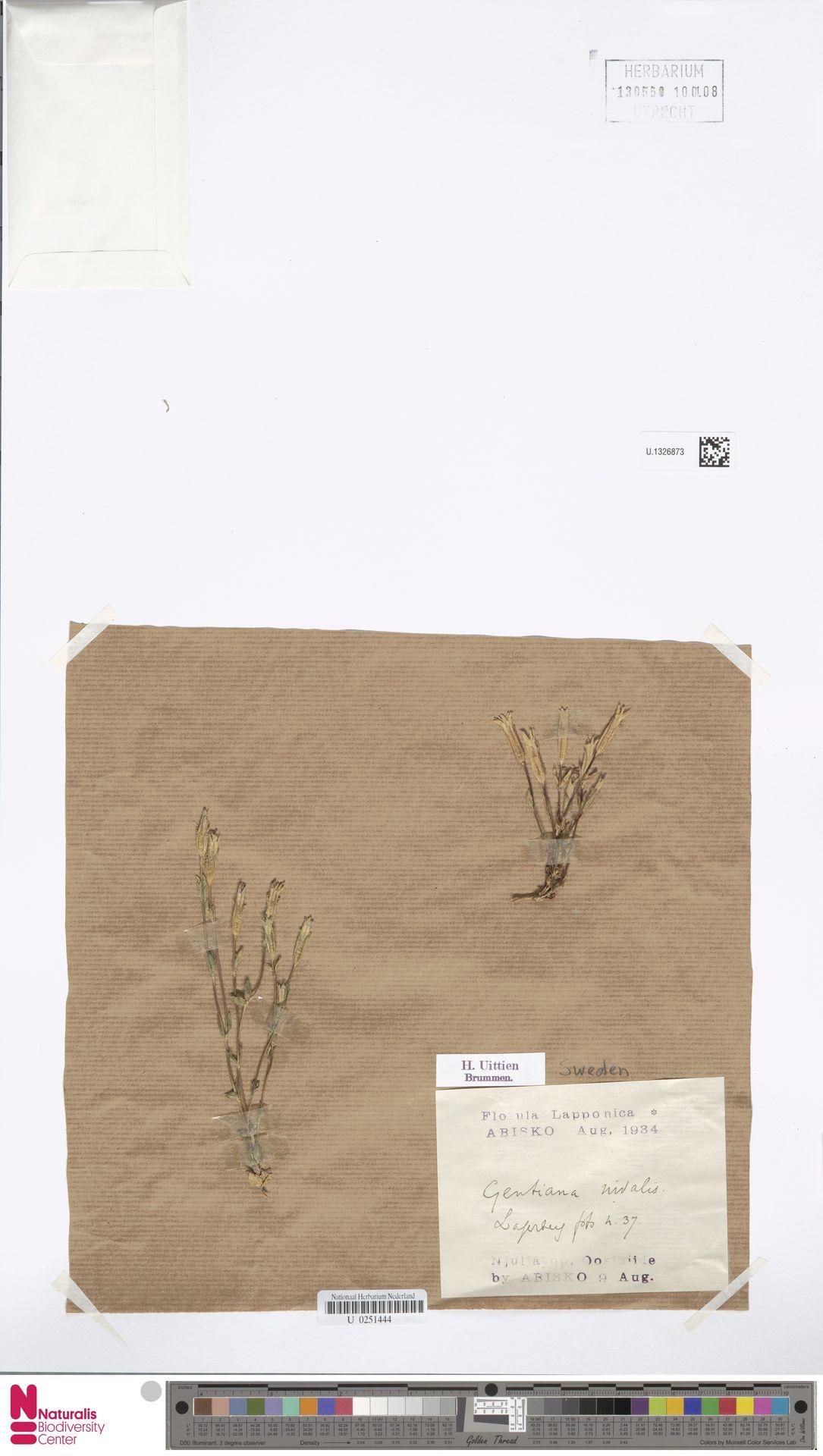 U.1326873 | Gentiana nivalis L.