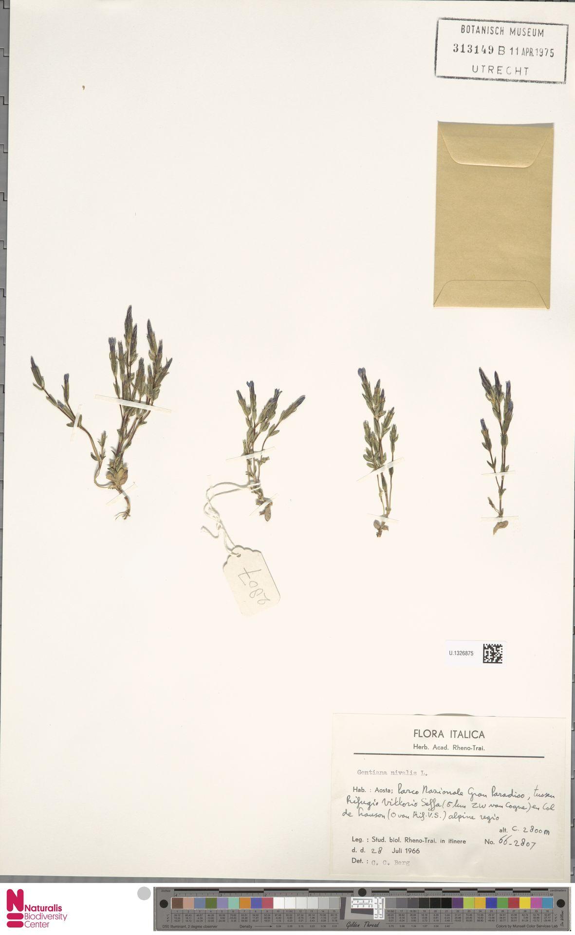 U.1326875 | Gentiana nivalis L.