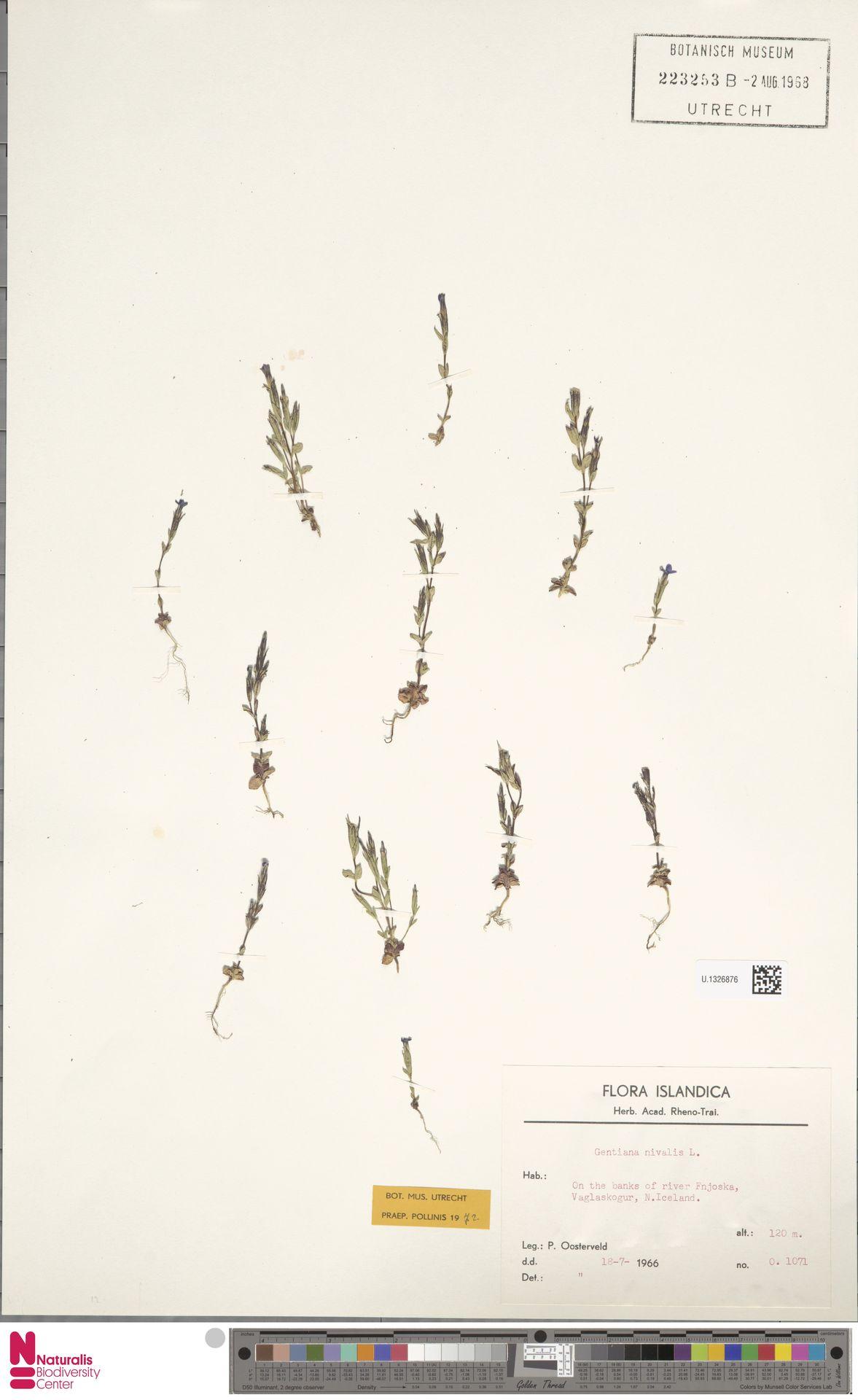 U.1326876 | Gentiana nivalis L.