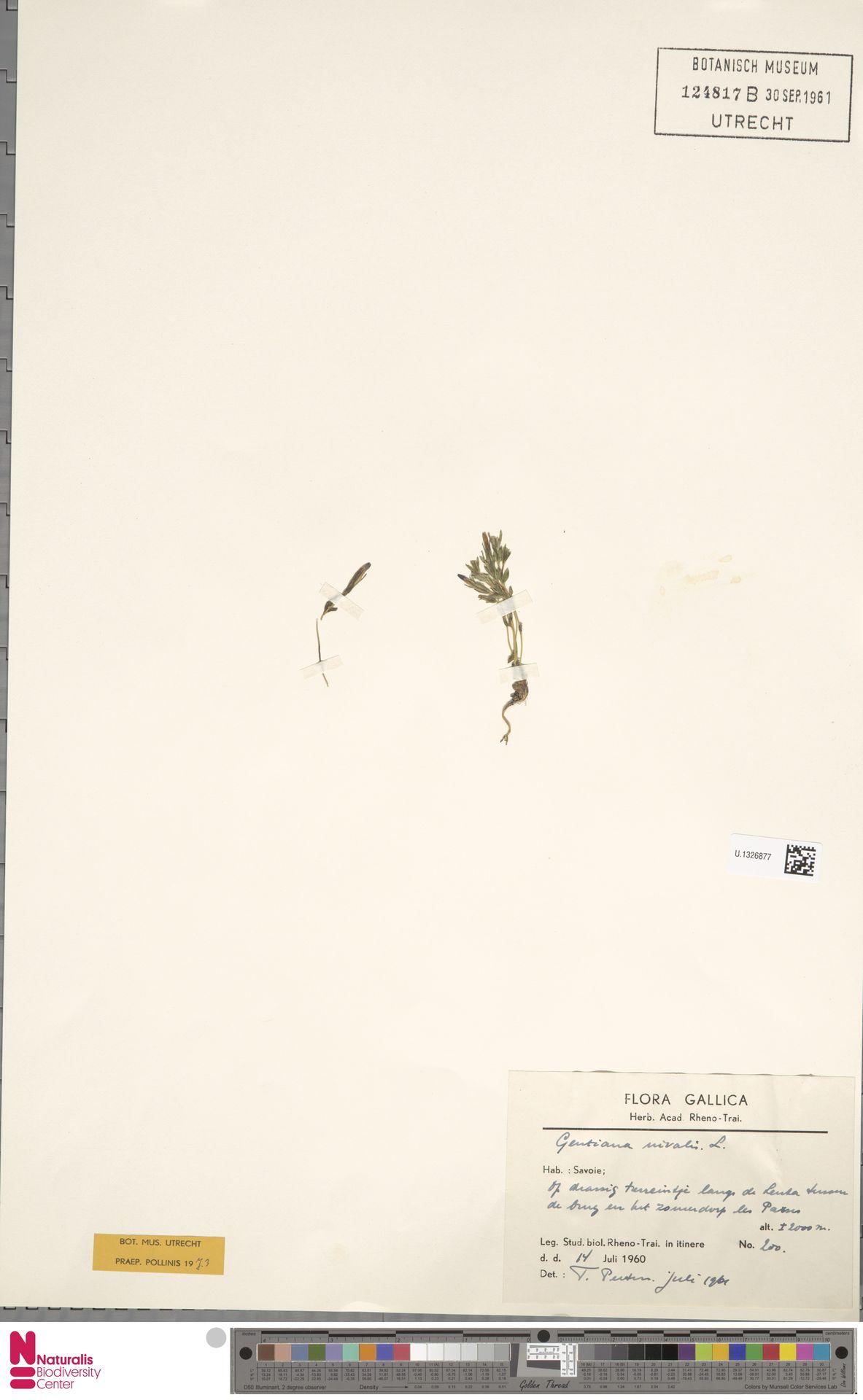 U.1326877 | Gentiana nivalis L.