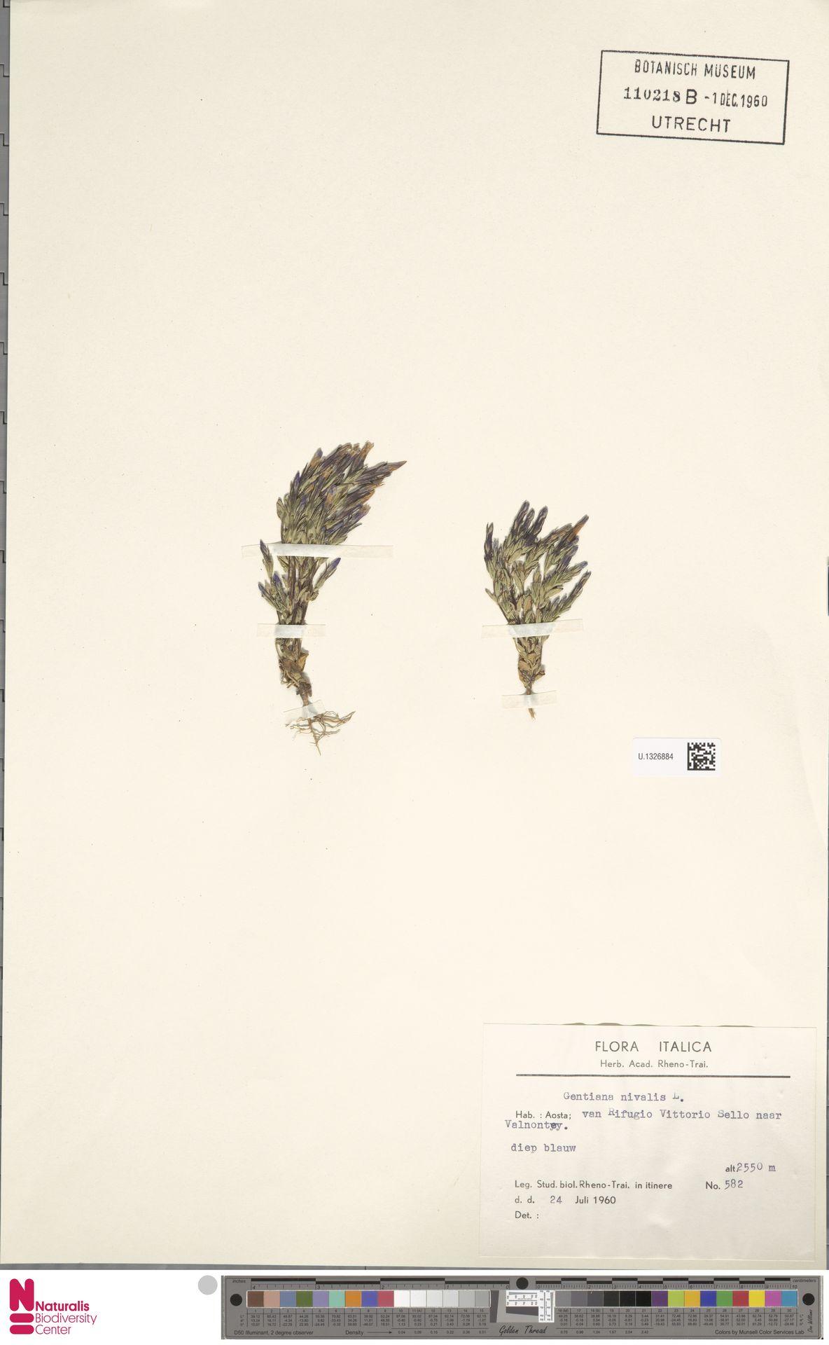 U.1326884 | Gentiana nivalis L.