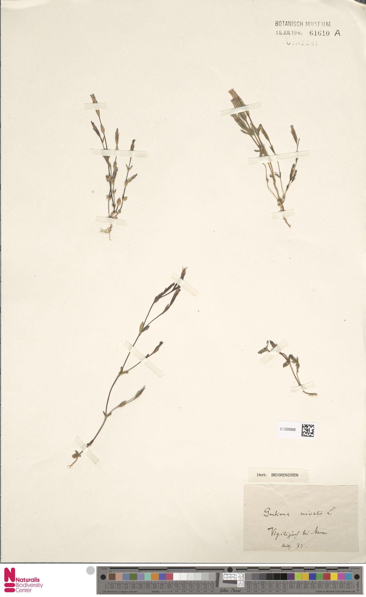 U.1326888 | Gentiana nivalis L.