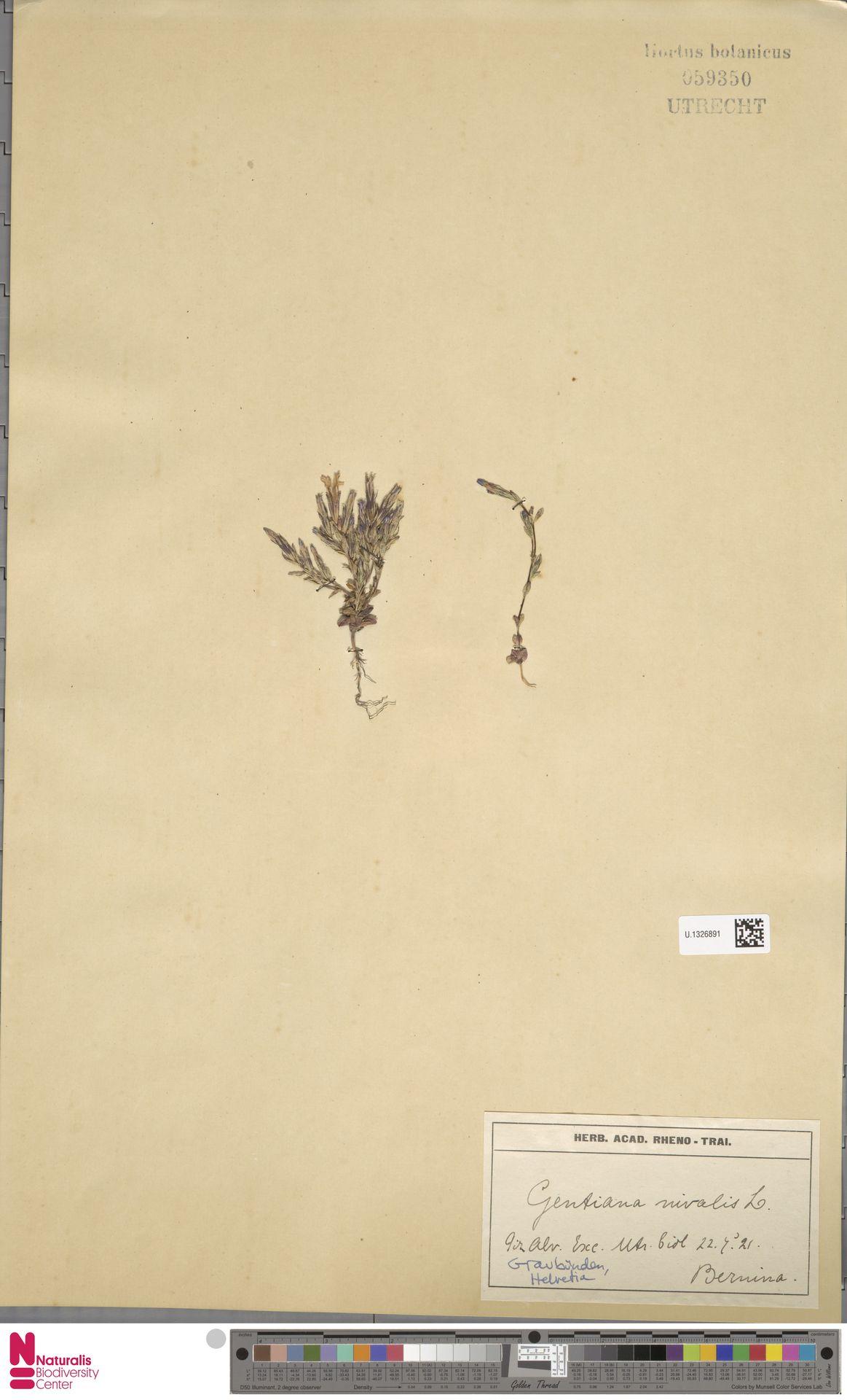 U.1326891 | Gentiana nivalis L.