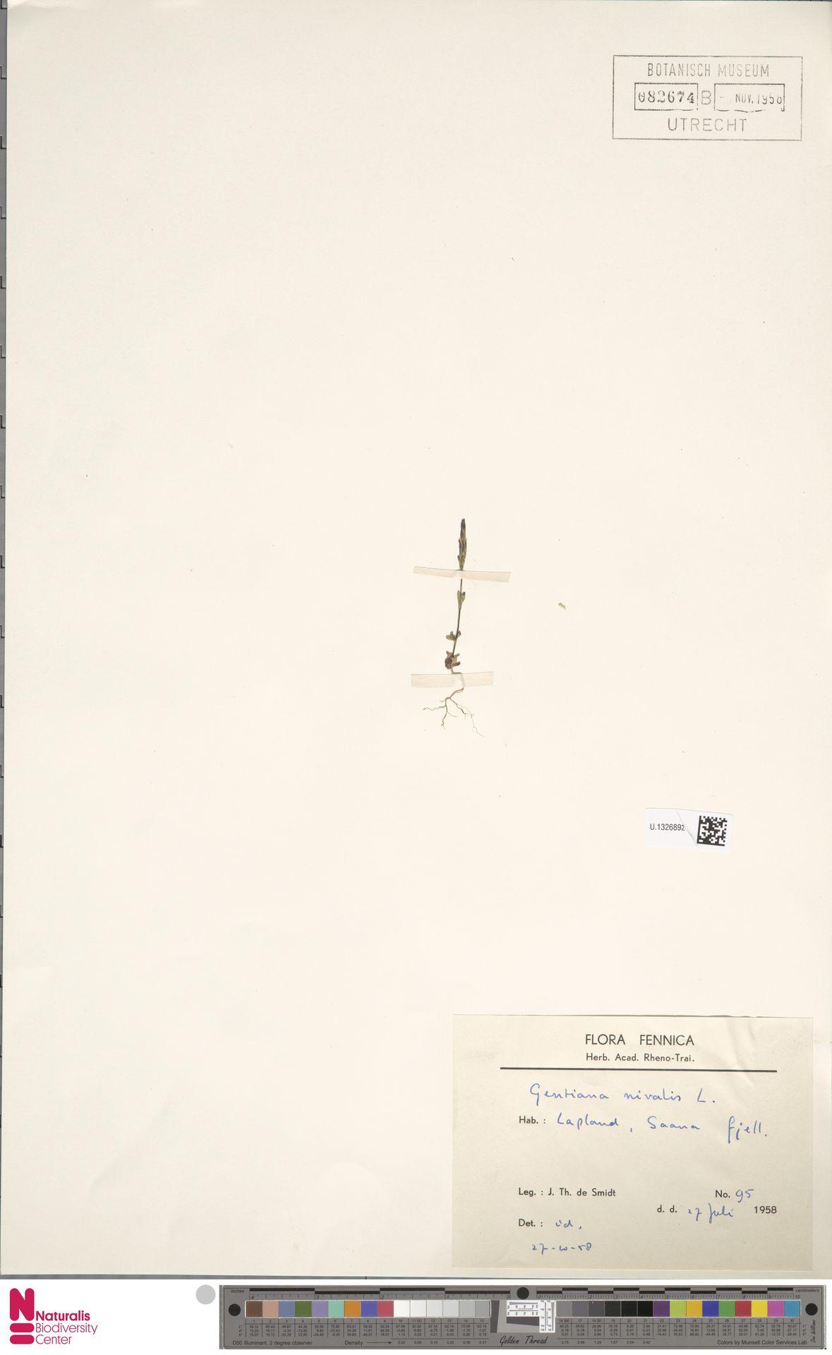 U.1326892 | Gentiana nivalis L.