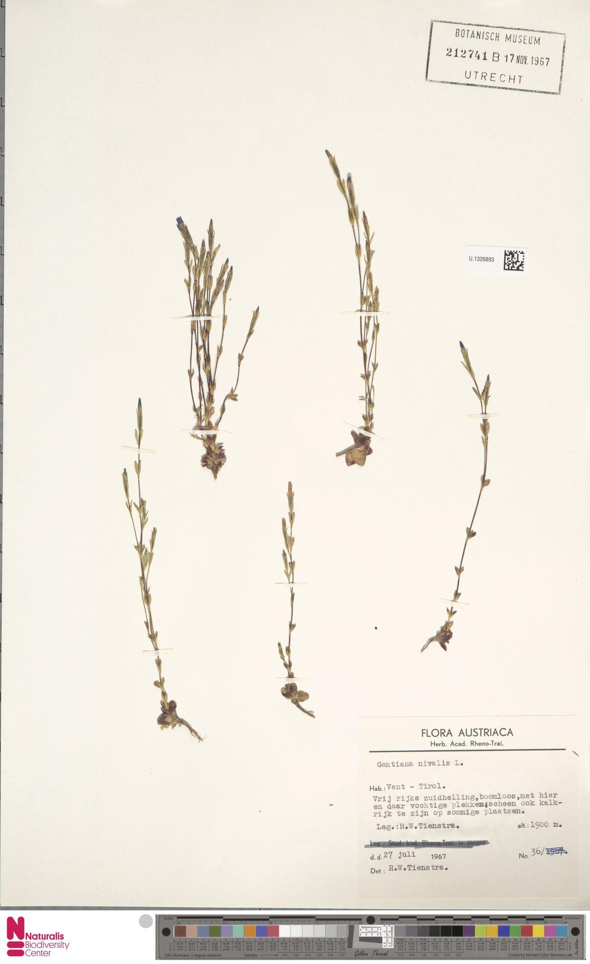 U.1326893 | Gentiana nivalis L.